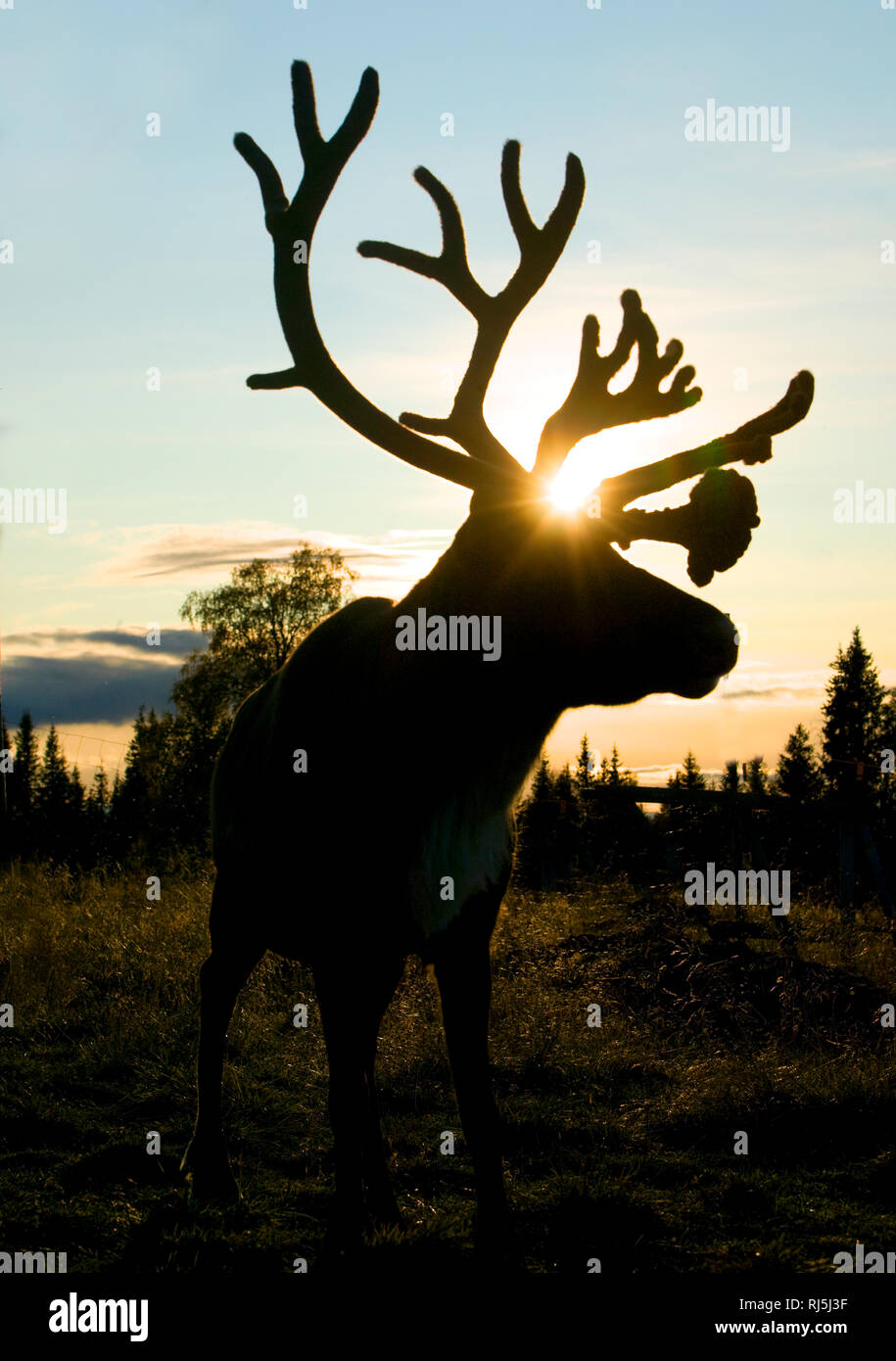 Reindeer at night Stock Photo