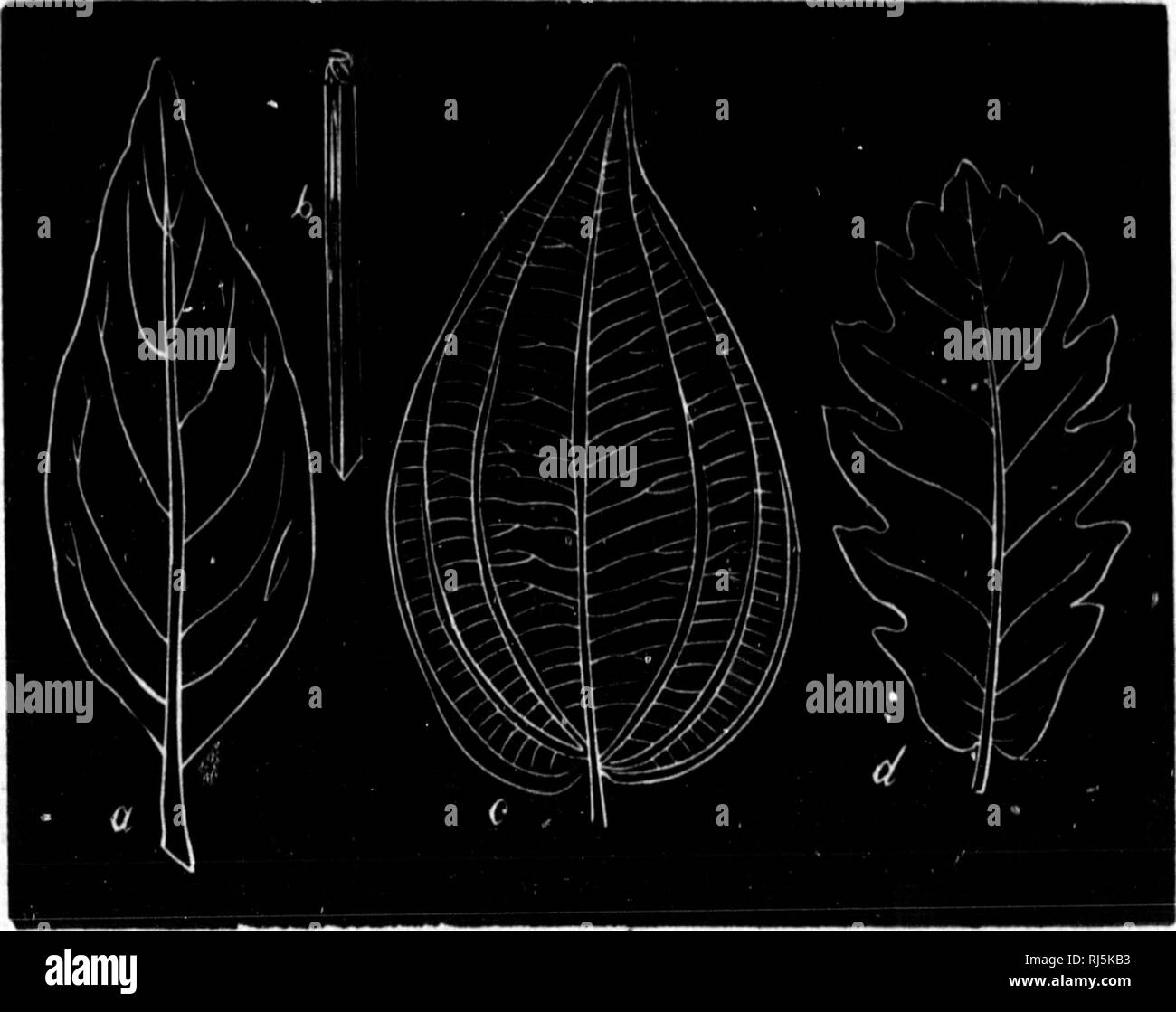 . Elements de minéralogie, de géologie et de botanique [microforme]. Minéralogie; Géologie; Botanique; Mineralogy; Geology; Botany. â 350 â convaincre de la généralité de cette loi en comparant la feuille de l'un quelconque de nos arbres à feuilles caduques (dicotylédone) avec celle du maïs ou d'un autre graminée (monocotylédone). Dans le cas de nervation ramifiée divergente, la disposition des nervures dans le limbe est très va- riable. Elle peut cependant se rapporter à quatre types principaux.. Fig. 184. Le cas le plus simple est celui d'une nervure uni- que, médiane, qui ne s - Stock Image