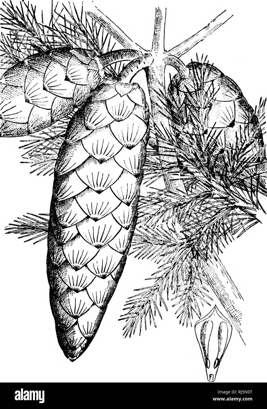 . A guide to the trees [microform]. Trees; Botany; Arbres; Botanique. ScaU o/ cone. PLATE CXLI. NORWAY SPRUCE. Puca exceba. (261). Please note that these images are extracted from scanned page images that may have been digitally enhanced for readability - coloration and appearance of these illustrations may not perfectly resemble the original work.. Lounsberry, Alice; Rowan, Ellis, 1858-1922. Toronto : W. Briggs - Stock Image