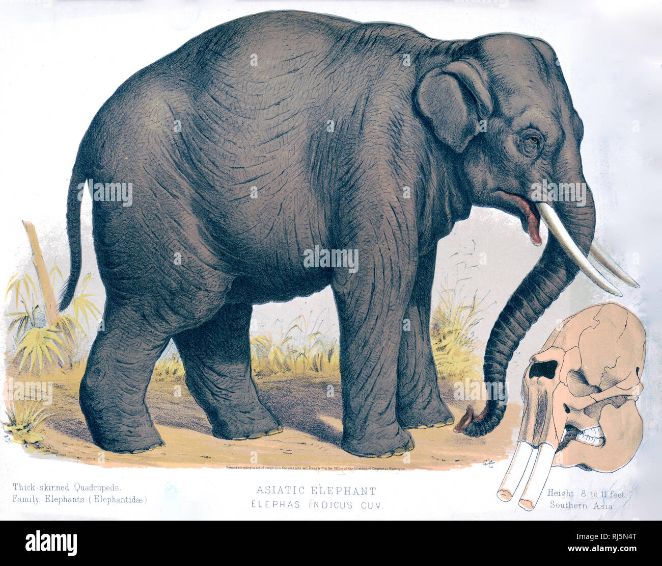 Thick-skinned Quadrupeds. Family - Elephants (Elephantidæ). - Stock Image