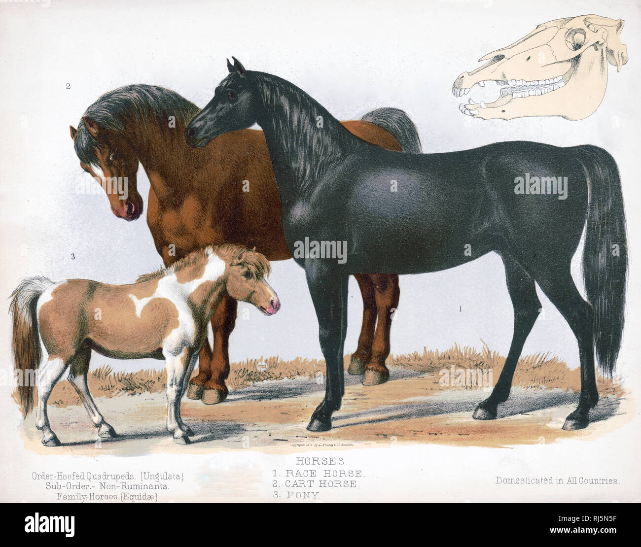 Print shows a race horse, a work horse, and a pony, all full-length, standing; also shows a skull - Hoofed Quadrupeds [Ungulata]. Sub-order - Non-Ruminants - Stock Image