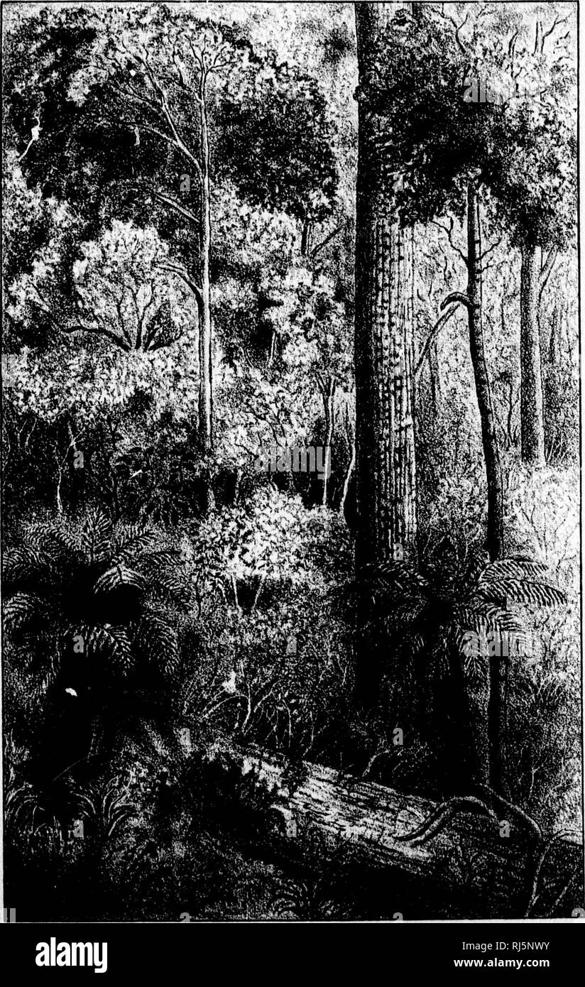 . Paper on the eucalypts of Australia [microform]. Eucalyptus; Eucalyptus. 1, PL.31. 'â 'â â â >'.*. Please note that these images are extracted from scanned page images that may have been digitally enhanced for readability - coloration and appearance of these illustrations may not perfectly resemble the original work.. Hoffmann, G. Christian (George Christian), 1837-1917. [Montreal? : s. n. ] - Stock Image