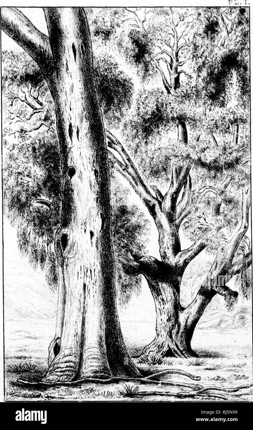 . Paper on the eucalypts of Australia [microform]. Eucalyptus; Eucalyptus. (II. â¢ith â (.,!⢠nil IIIH,' V. ! !^S5SaS^;gft^'% 9. Please note that these images are extracted from scanned page images that may have been digitally enhanced for readability - coloration and appearance of these illustrations may not perfectly resemble the original work.. Hoffmann, G. Christian (George Christian), 1837-1917. [Montreal? : s. n. ] - Stock Image
