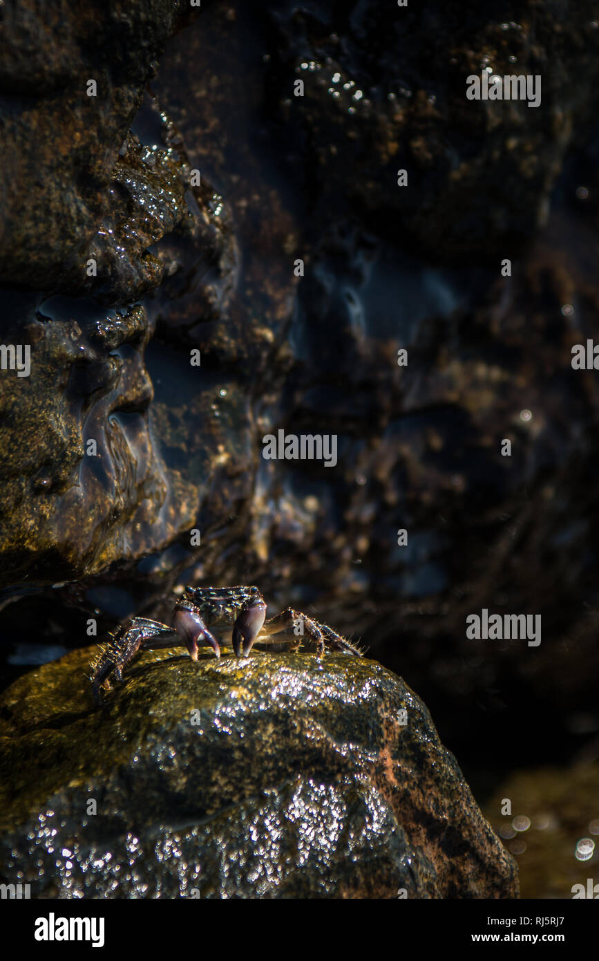Little crab on rock of pathway to the chaples of st. Nikolaos in Georgioupoli, Crete Stock Photo