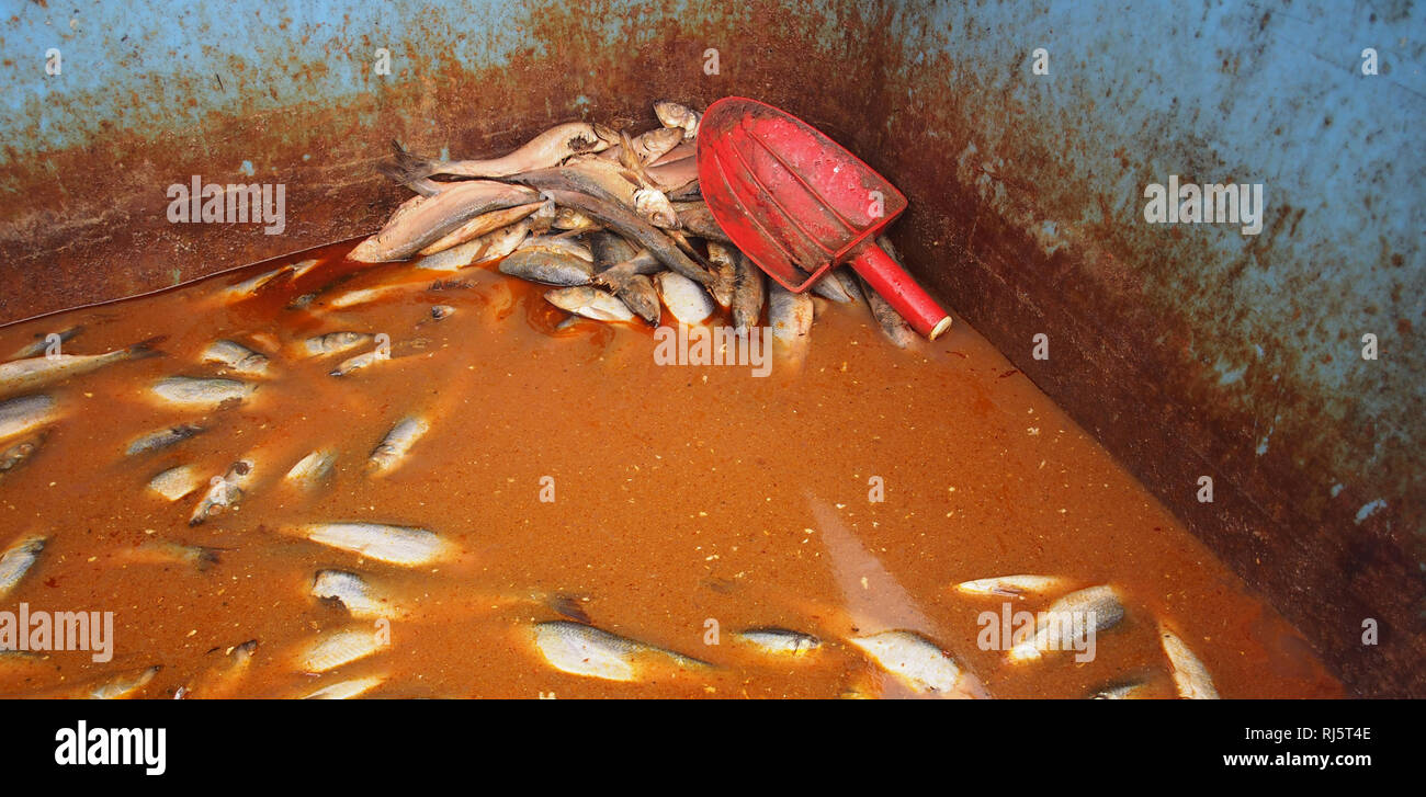 A picture of the inside of a large tank full of dead fish suspended in a brown liquid ready to be used as bait on industrial sea fishing trips - Stock Image