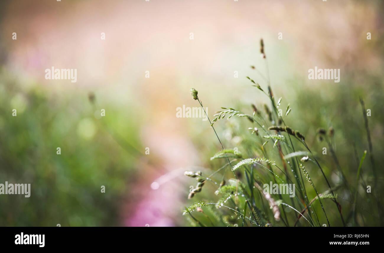 Einzelne zarte Halme und Blüten auf einer Sommerwiese im Gegenlicht, - Stock Image