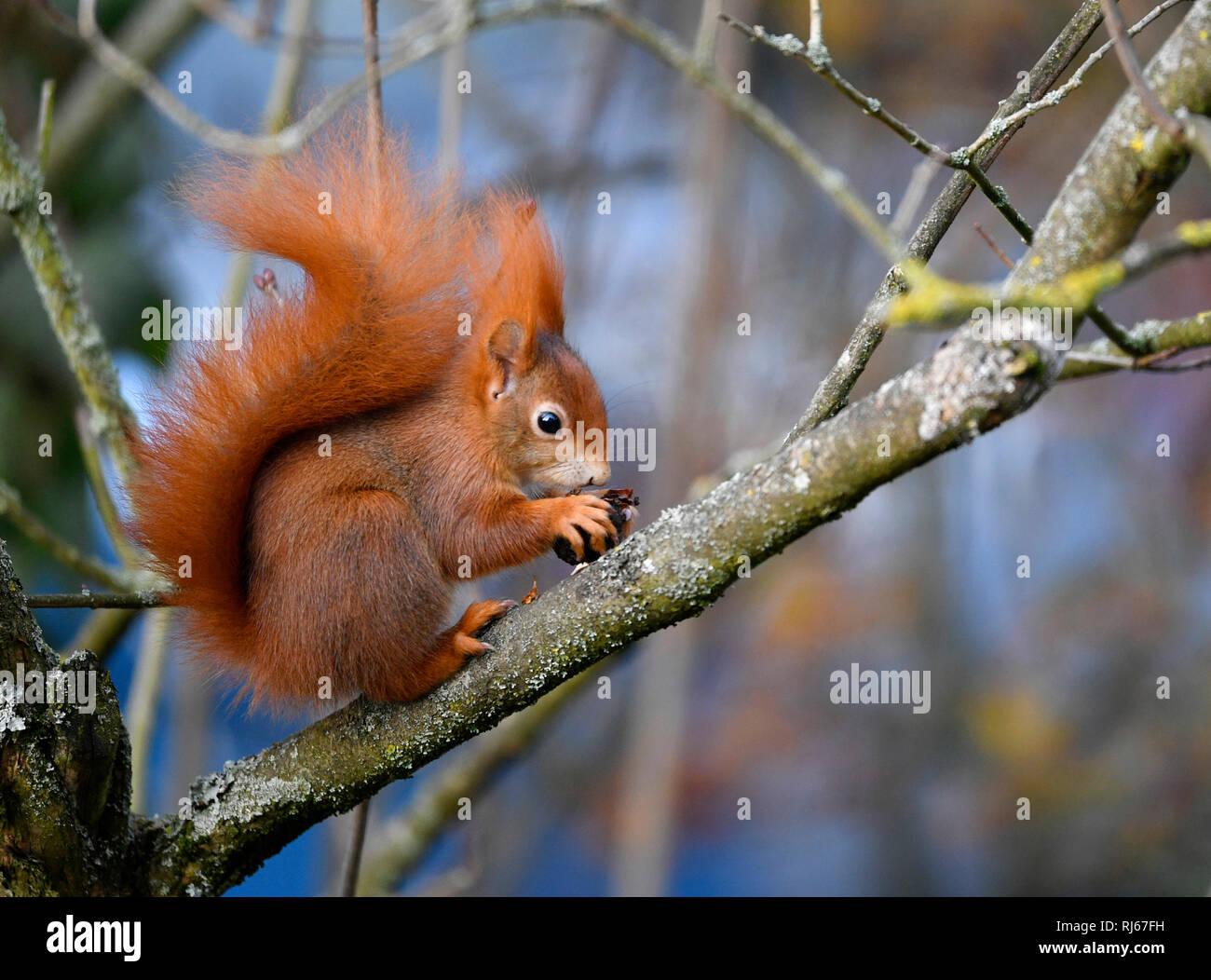 Eichhörnchen (Sciurus vulgaris), Stuttgart, Baden-Württemberg, Deutschland - Stock Image
