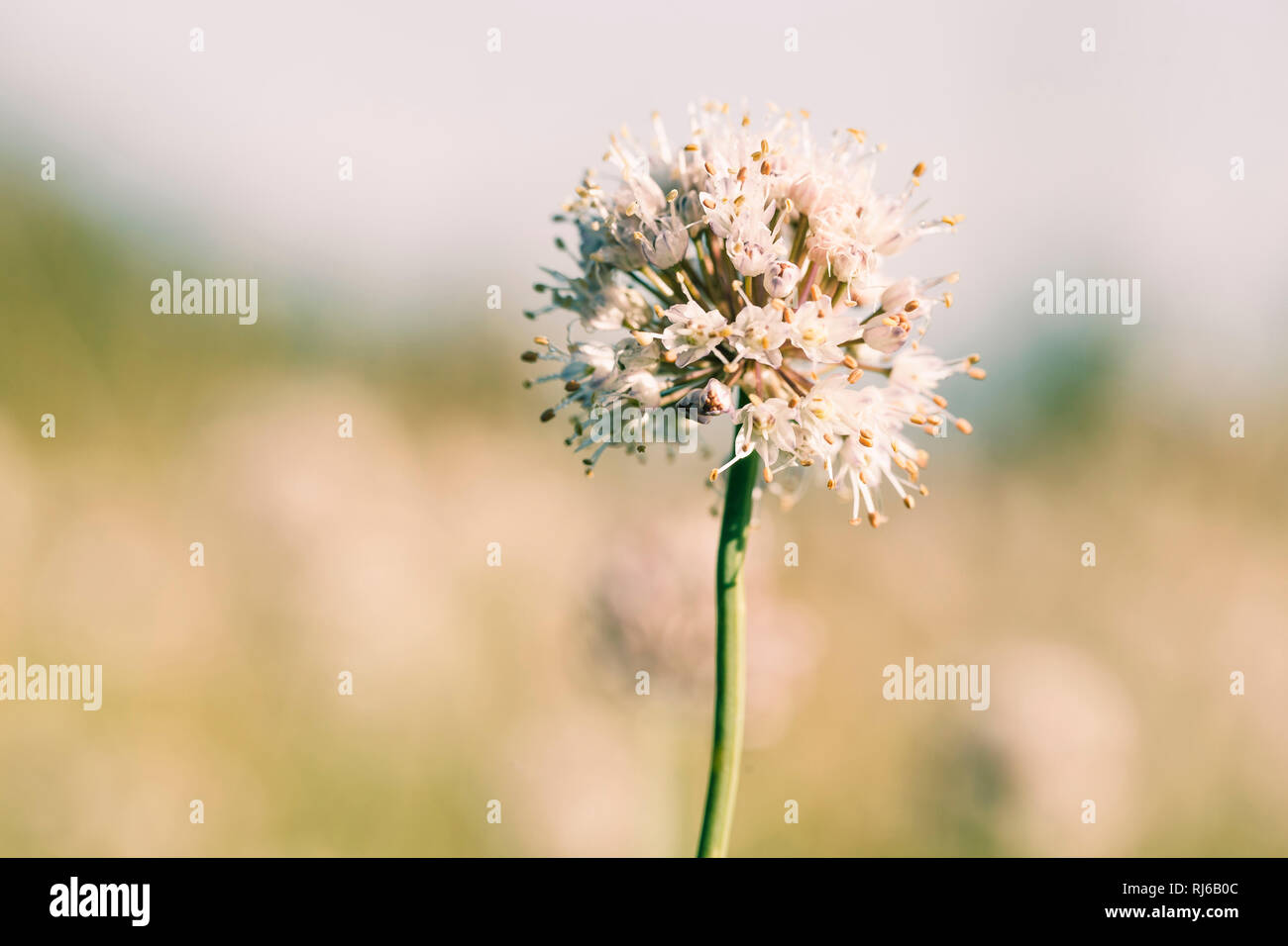Weiße Sommerblume, close-up, Stock Photo