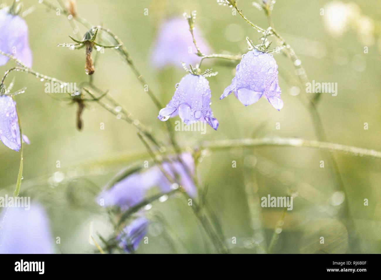 Bluebells, Glockenblumen mit Wassertropfen am Morgen Stock Photo