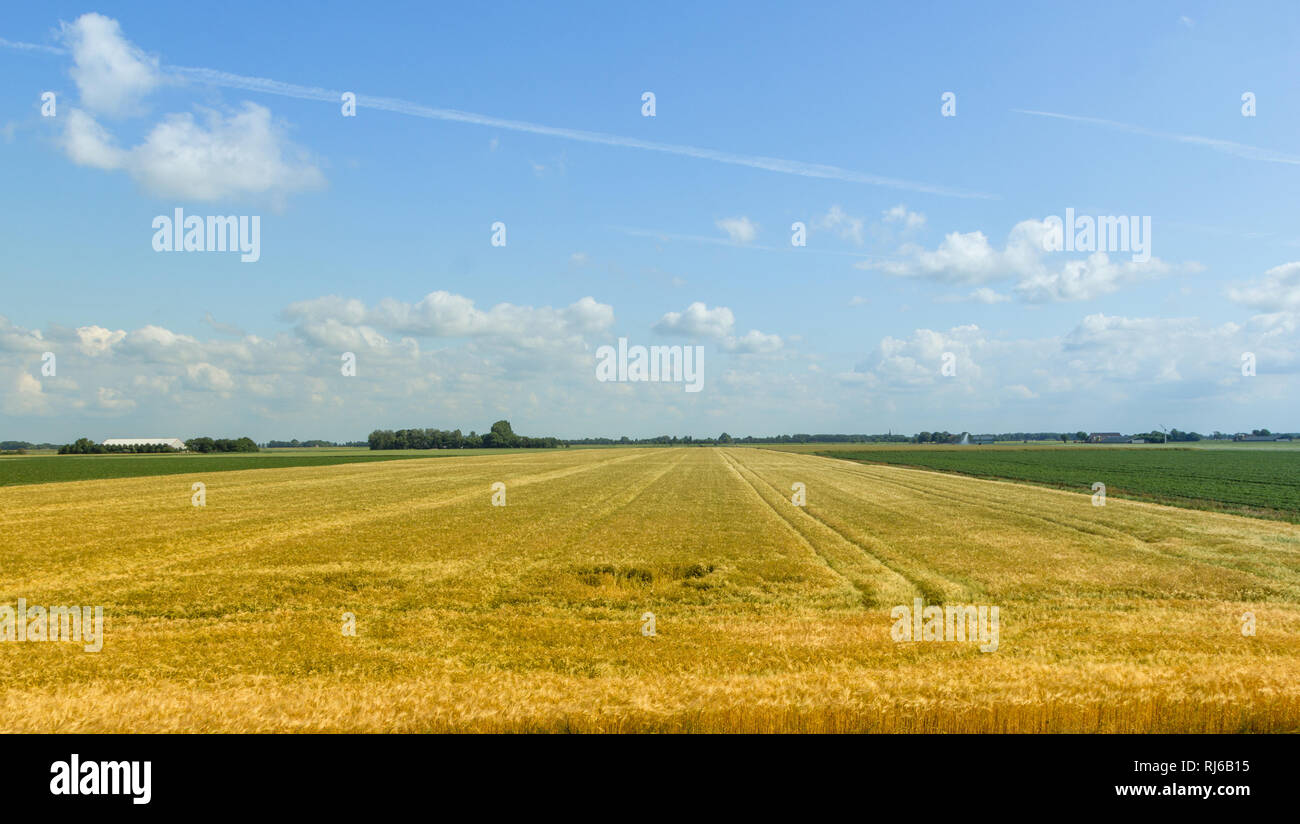 Ein goldgelbes Weizenfeld soweit das Auge reicht, Stock Photo