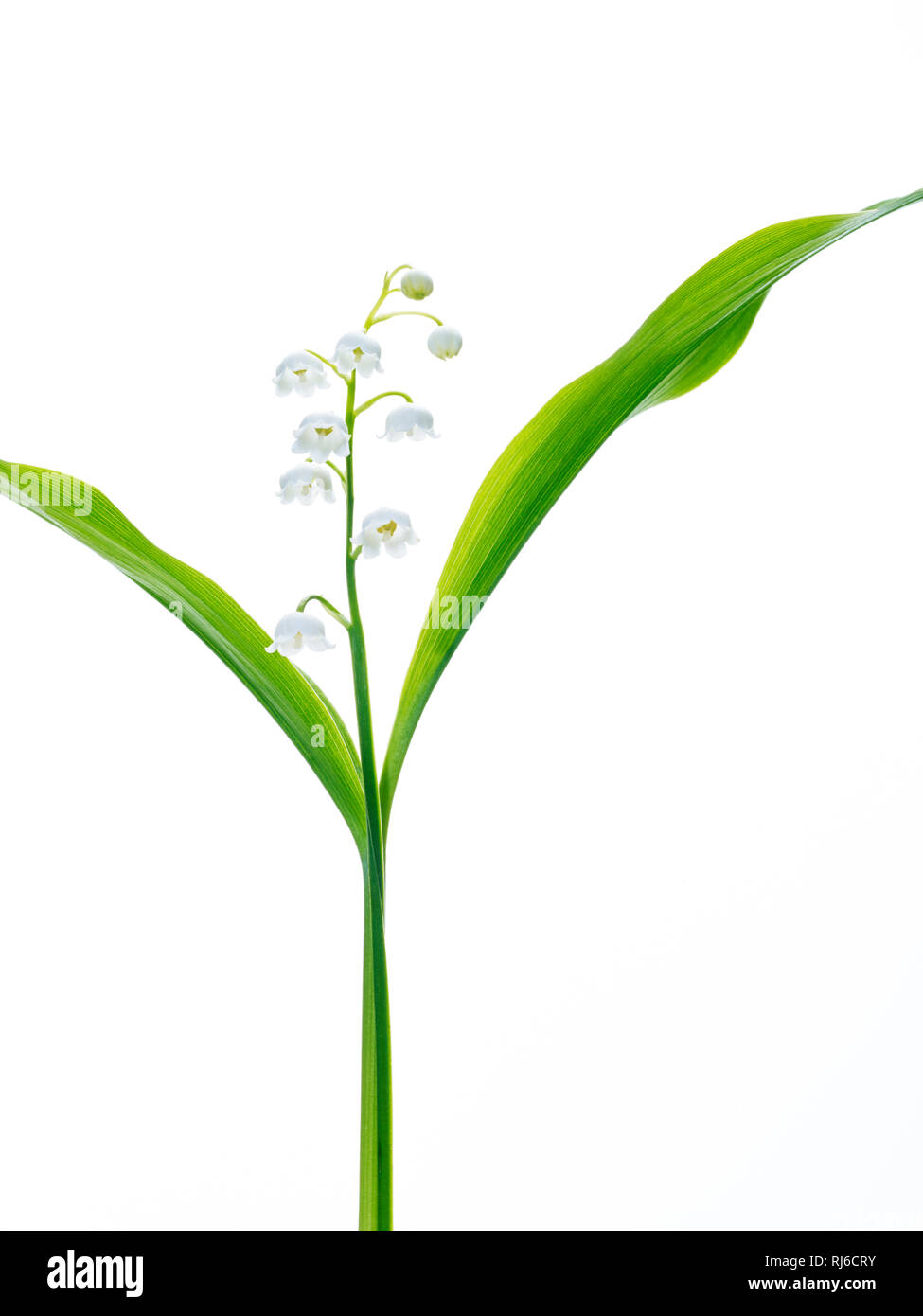 Maiglöckchen als Freisteller vor weißem Hintergrund - Stock Image