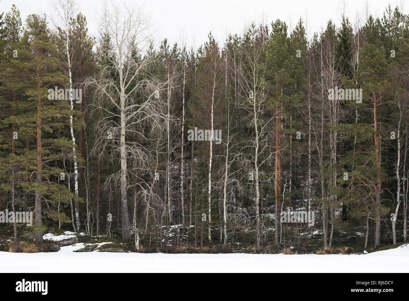 Finnland, verschiedene Bäume am Waldrand, Espen, Kiefern, Birken Stock Photo