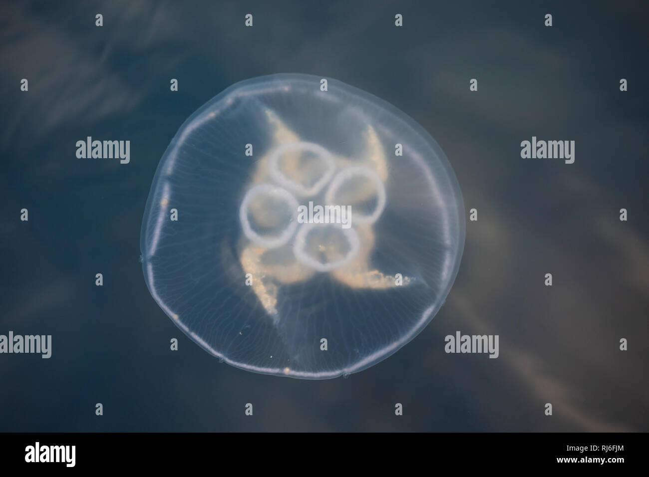 Ohrenqualle, Ohren-Qualle, Qualle, Quallen, Meduse, Aurelia aurita, moon jelly, moon jellyfish, common jellyfish, saucer jelly, La méduse commune, Aur - Stock Image