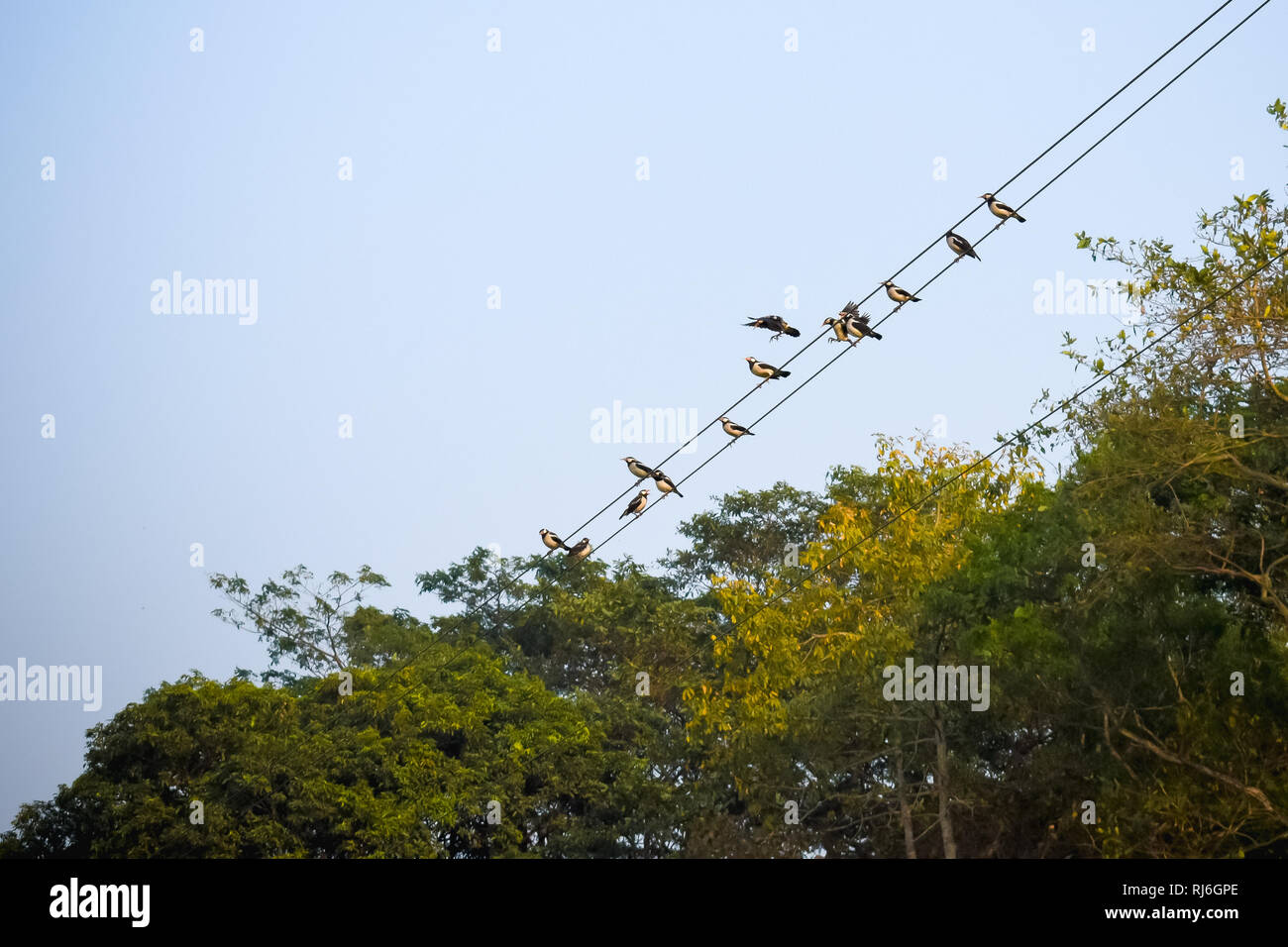 Many Sparrows or family of small passerine birds also known as true sparrows, Old World sparrow birds sitting on an electric cable in city background. - Stock Image
