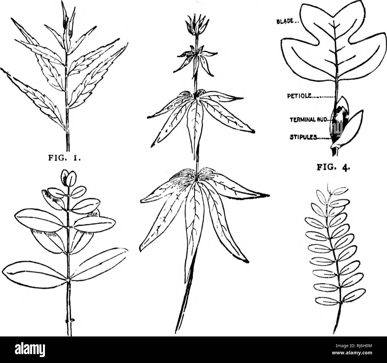 . A guide to the trees [microform]. Trees; Botany; Arbres; Botanique. ILLUSTRATED TERMS. rw i â I i when it is longer and more prominent than the others. (Fig. 4,) The numerous sub-divisions of the framework, Veinlets, and the finest of these Veinulets. In regard to their venation, leaves are divided into (i) those that are Netted-Veined and (2) those that are Parallel- Veined. This feature is invariably in accord with the shape. FIG. 2. FIG. 3. FIG. S- I and character of the leaf and should therefore be most care- fully observed. I. Netted-Veined Leaves are those in which the veins branch off - Stock Image