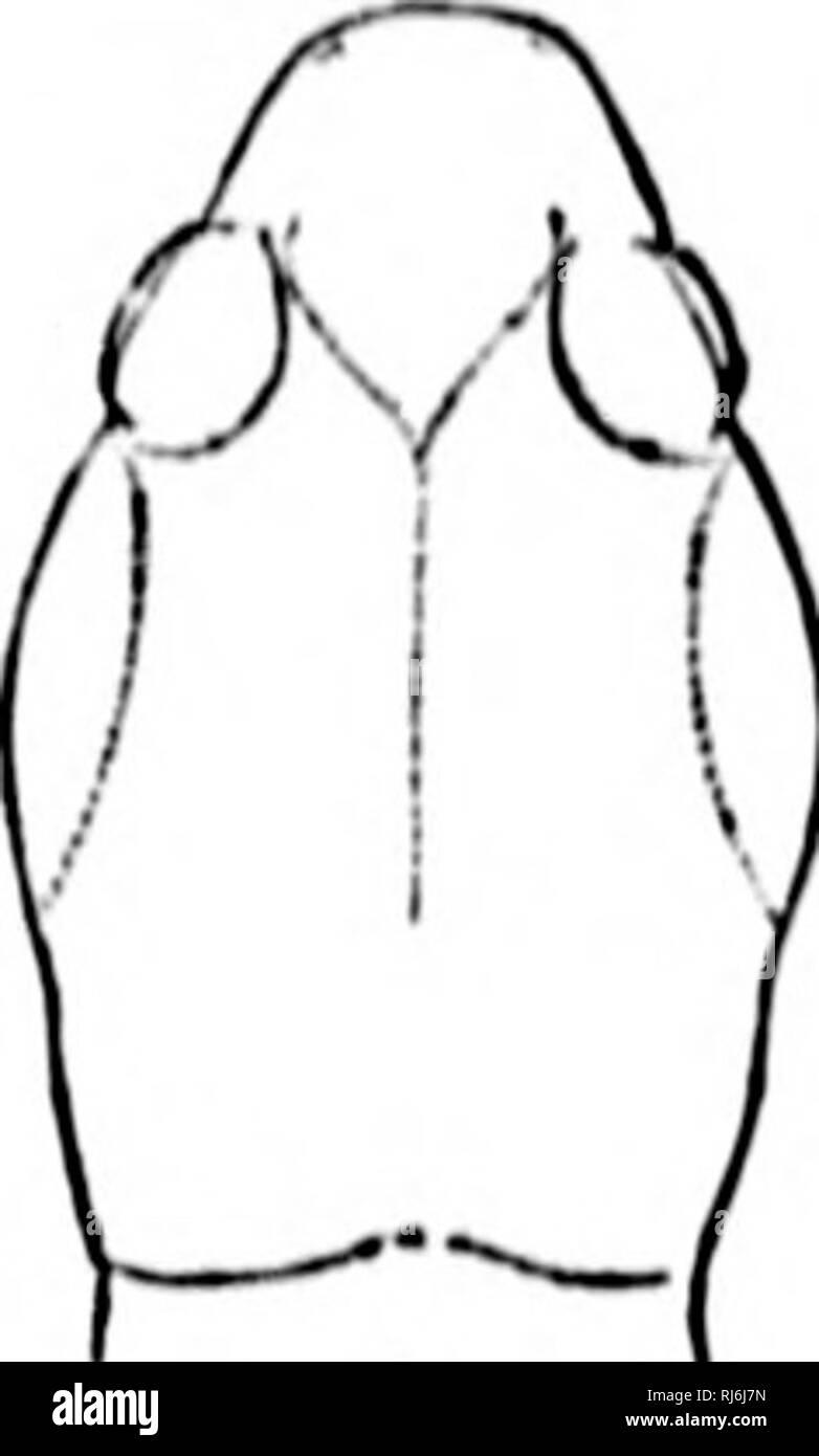 . The Batrachia of North America [microform]. Amphibians; Amphibiens. i il 184 nULLKTIN 111, I'NITKI) RTATKS NATIOXAL MI'SKir.Nf. ijcllicr. It is siilM'.vIiiKlrical, soiiu'wliiit coiniu-essed, and tiuu'iiii;,' at Iho 011(1. Il;i iippci- and Imuci eddies art' roiiiidcd. Tlic limbs aiv sleiidor, tiif posti-rior oiu's a liltk- loiiijor aiitl stoiiu-r tliaii the ante rior. Wla'U tlii' loriiicrare liroiijilit Ibrvvanl and tlicl.itli r backward al(.ii;,'sid.'tlu' body tlio toes of citber sliKbtl.v ovi'ilap (lie (ttluT. The toes tlicmsrlvcsarc sIcikUt, oiiliicly froo, niid t«Mininalcd by a callous, d - Stock Image
