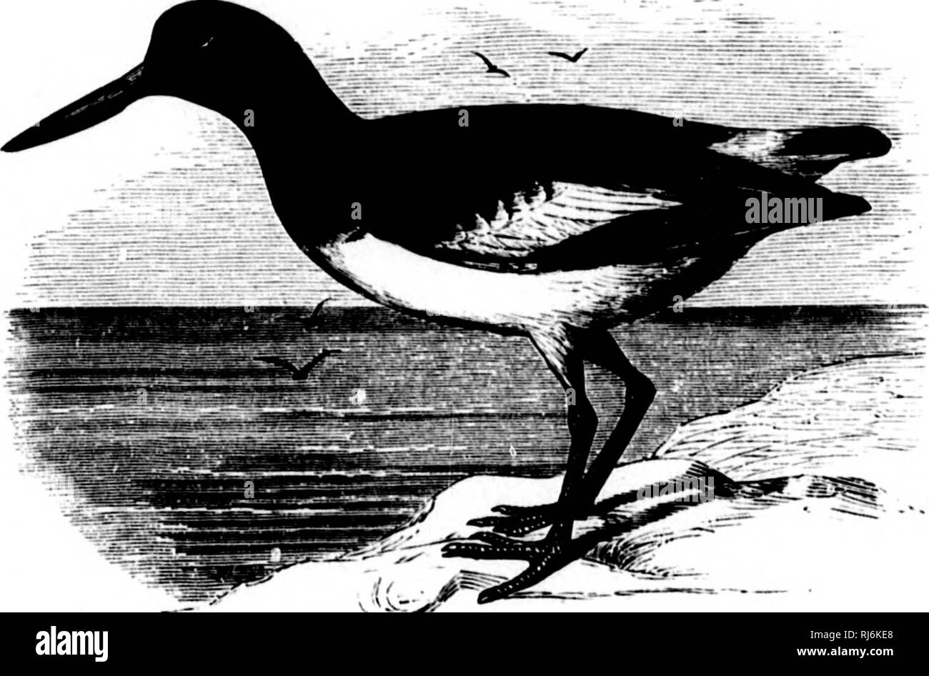 . The water birds of North America [microform]. Birds; Water-birds; Oiseaux; Oiseaux aquatiques. H/EMATOPODID.E — THE OYSTER CATCHERS — IT^E^IATOPUS. 109 crimson ; lejjs nnd feet (in life) purplish red. Wing, 9.80-10.25 ; culmen, 2.85-3.50 ; tarsus, 2.00-2.20 ; middle toe, 1.20-1.40. Hnb. Piilrcarctic rei,'ion, New Zealand, etc. 2. H. palllatuB. Rump brownish slate, like back and win; tarsus, 2.20; middle toe, 1.70-1.75; greatest depth of bill anterior to nostril, .60. Hah. Pacific coast of South America. Var. ater} In this species, or race, according to authors, the iris is yellow, eyelids re - Stock Image
