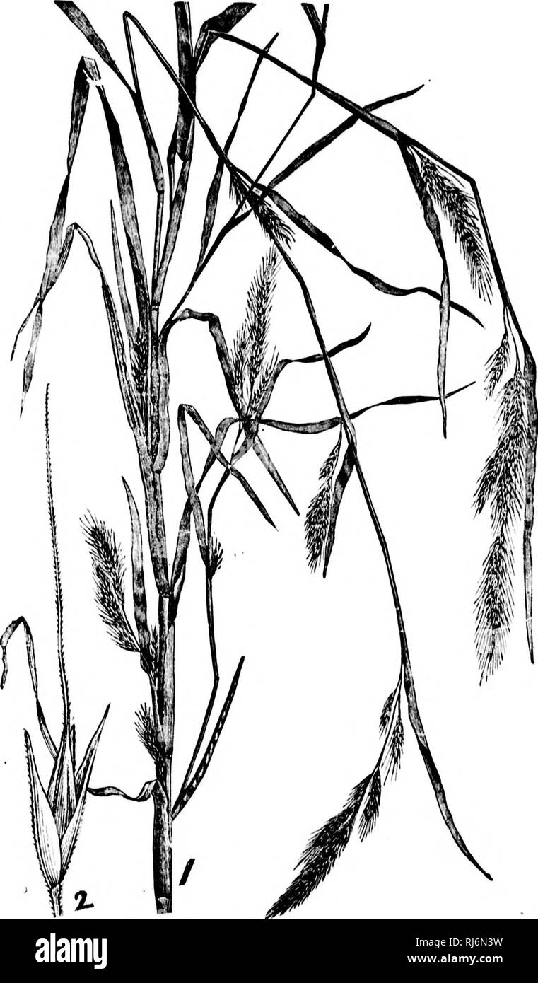 . Grasses of North America [microform] : chapters on the physiology, composition, selection, improving and cultivation of grasses, management of grass lands, also chapters on clovers, injurious insects and fungi. Grasses; Forage plants; Graminées; Plantes fourragères. Fio. 8-.'.. Please note that these images are extracted from scanned page images that may have been digitally enhanced for readability - coloration and appearance of these illustrations may not perfectly resemble the original work.. Beal, W. J. (William James), 1833-1924. New York : H. Holt Stock Photo
