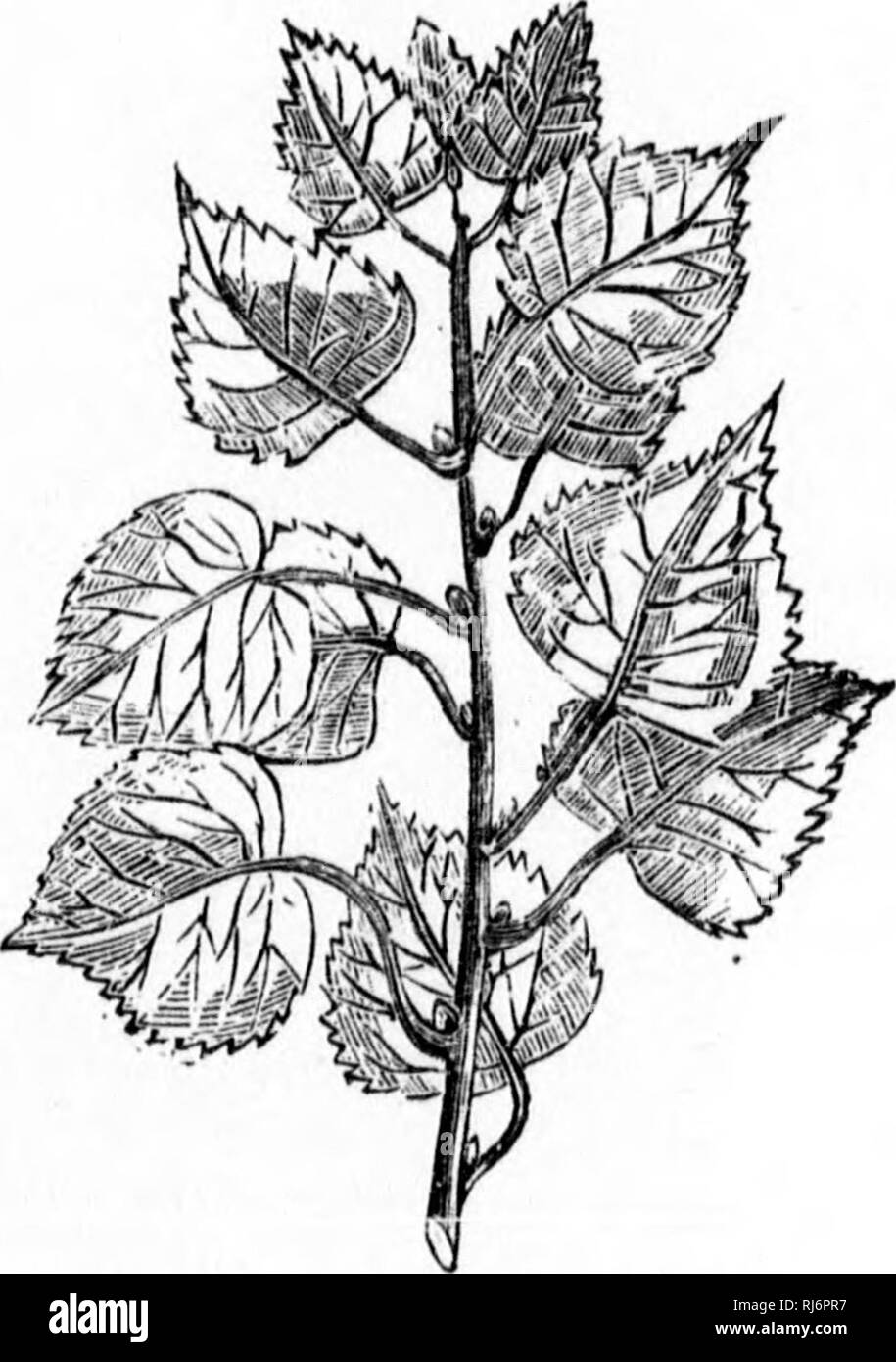 . The Canadian forester's illustrated guide [microform]. Forests and forestry; Forêts et sylviculture. 123.—Leaves of Lombardy poplar. 12a.—Populiis pyramidalis— l^oiubardy puplar. It must be well understood that the ornamental trees I have mentioned must only be planted in those spots which T have before pointed out as suitable to their cultivation. s One word as to ornamental hedges. Where snow is abundant in winter, and where field-mice are trouble' some, the only hedges I cui* recommend are those com- posed of Norway spruce, of firs, of willows, and of arbor. Please note that these images  - Stock Image