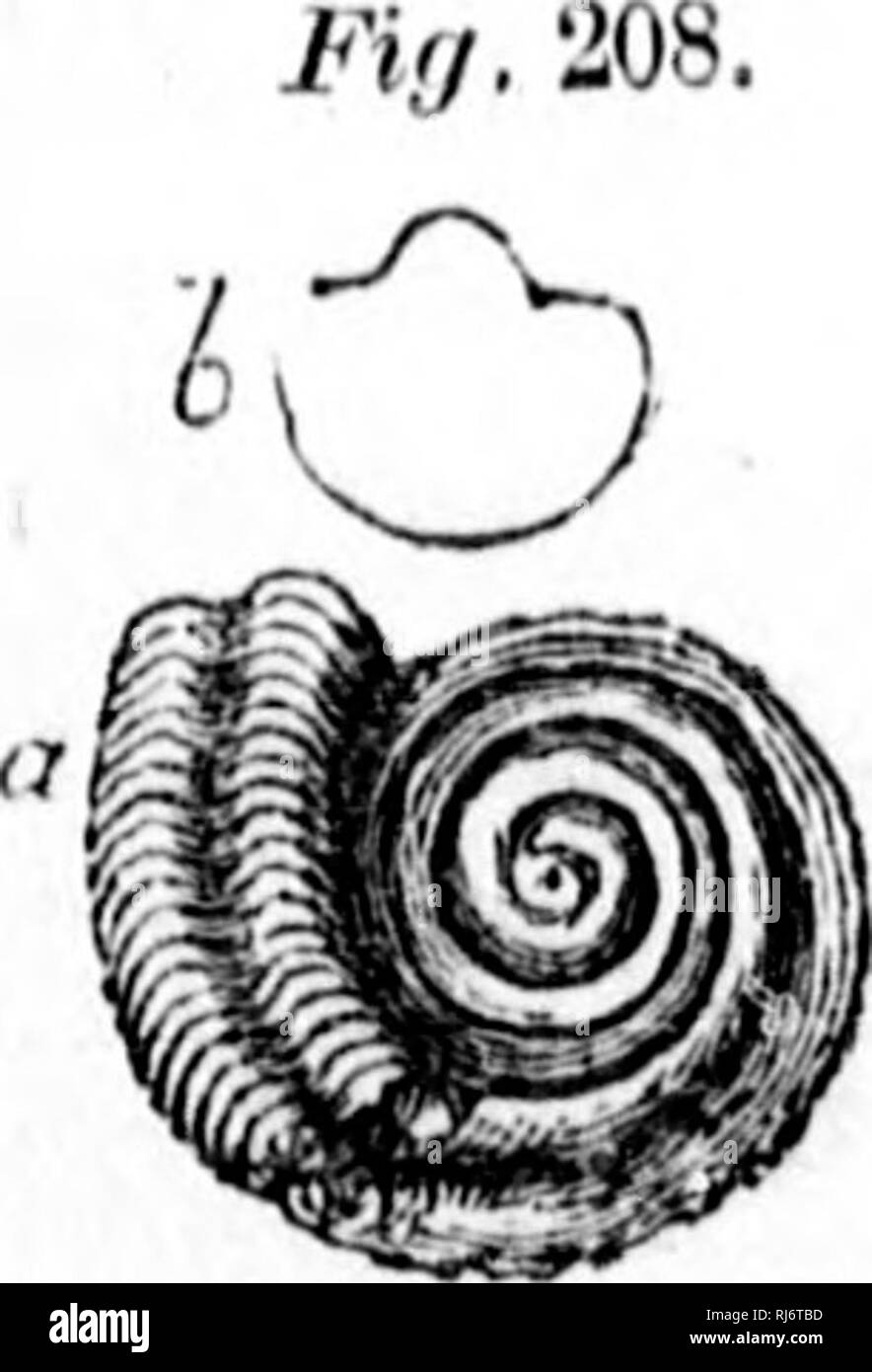 . Handbook of zoology [microform] : with examples from Canadian species, recent and fossil :. Zoology; Invertebrates; Zoologie; Invertébrés. 184. Fleukotomauia bybillina, IJilliiiRK,—M. Silurian. («) Sculpture ami notch. The genera Loxonema and Euomphahu also in- lude fossils of uncertain affinities. Yii3^ 208, 209.. Fir/. 209. 208. EuOMPHALUS EXouTivi-9, Dii,,—Carboniferou*. 209. LoiO>'BMA AcuTULA, Dn., Do.—Magnilied.. Please note that these images are extracted from scanned page images that may have been digitally enhanced for readability - coloration and appearance of these illustration - Stock Image