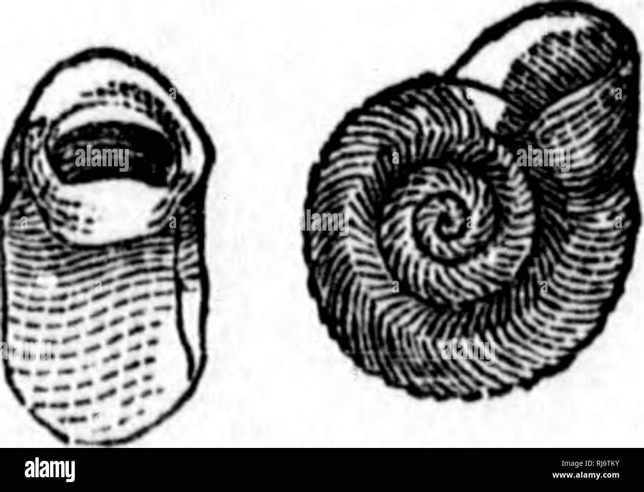 . Handbook of zoology [microform] : with examples from Canadian species, recent and fossil :. Zoology; Invertebrates; Zoologie; Invertébrés. h 182. Physa iiETKROSTRoiMiA. Say, 183. Ancylus kivularis, Say. 184. A. Fusru-s, Adams, Fig. 185. Fill. 186. Fly. 184, Fig. 187. /. Please note that these images are extracted from scanned page images that may have been digitally enhanced for readability - coloration and appearance of these illustrations may not perfectly resemble the original work.. Dawson, J. W. (John William), Sir, 1820-1899. Montreal : Dawson - Stock Image