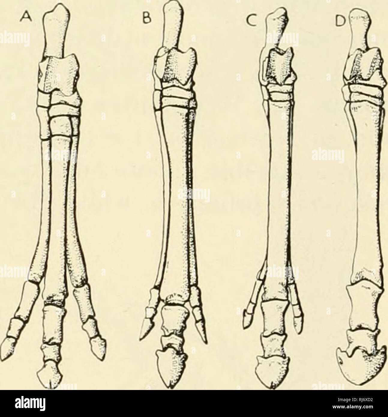 ". The chordates. Chordata. Fig. 598. Feet of horses. (Left) Manns. (Right) Pes. (A) Eohippus, a primitive Lower Eocene perissodactyl with four toes in front and three behind. (B) Mio- hippus, an Oligocene three-toed horse. (C) Merychippus, a late Miocene form with reduced lateral toes. (D) Equus. (A, after Cope; B, C, after Osborn. Courtesy. Romer: ""Vertebrate Paleontology,"" University of Chicago Press.). Please note that these images are extracted from scanned page images that may have been digitally enhanced for readability - coloration and appearance of these illustrations may not - Stock Image"