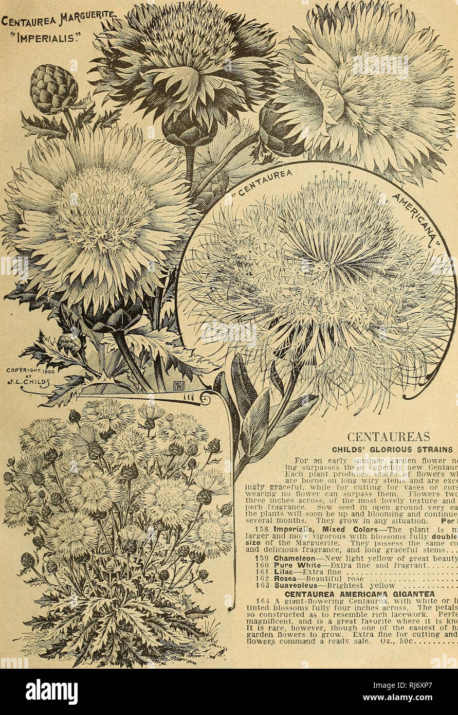 """. Childs' seeds that satisfy bulbs that bloom plants that please berries that bear perennials that pay and roses that rare. Commercial catalogs Seeds; Nurseries (Horticulture) Catalogs; Seeds Catalogs; Flowers Catalogs; Vegetables Catalogs; Fruit Catalogs; John Lewis Childs (Firm); Commercial catalogs; Nurseries (Horticulture); Seeds; Flowers; Vegetables; Fruit. Spring Catalog of Seeds, Bulbs and Plants for 1921 33 CEntaureaJWue^ """"Imperialism. CENTAUREAS CHILDS' GLORIOUS STRAINS For an early summer garden flower noth- ing surpasses these superbly new Centaureas, Each plant produces scores - Stock Image"""