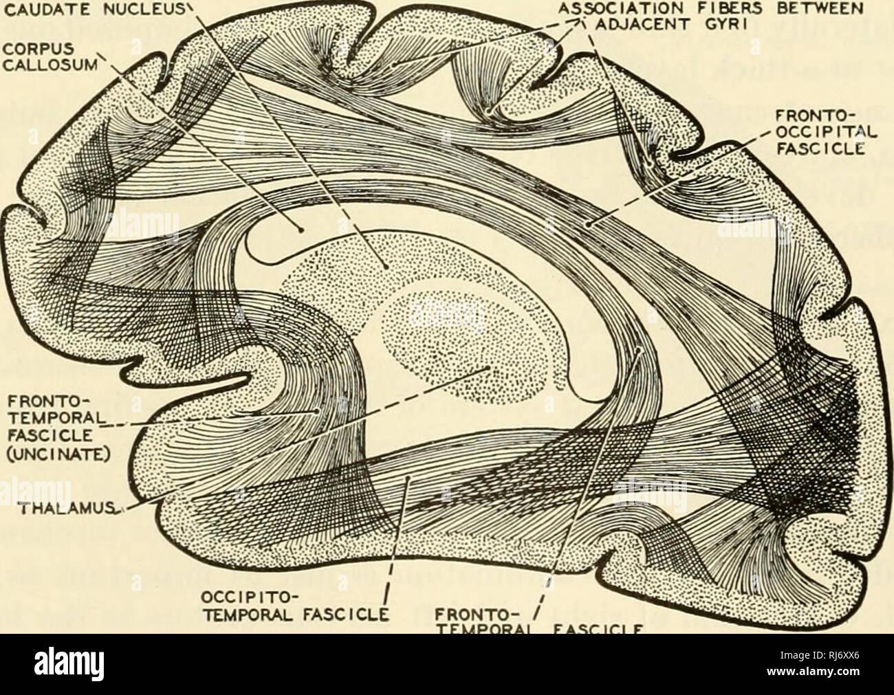 temporal lobe- occipital lobe •cerebellum ml dole peduncle nferior peduncle  fig  525  diagram