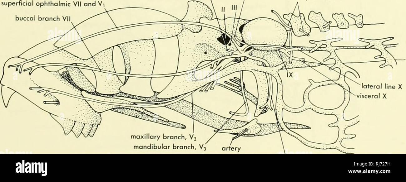 Visceral Lamprey Skeleton Schematic Diagram