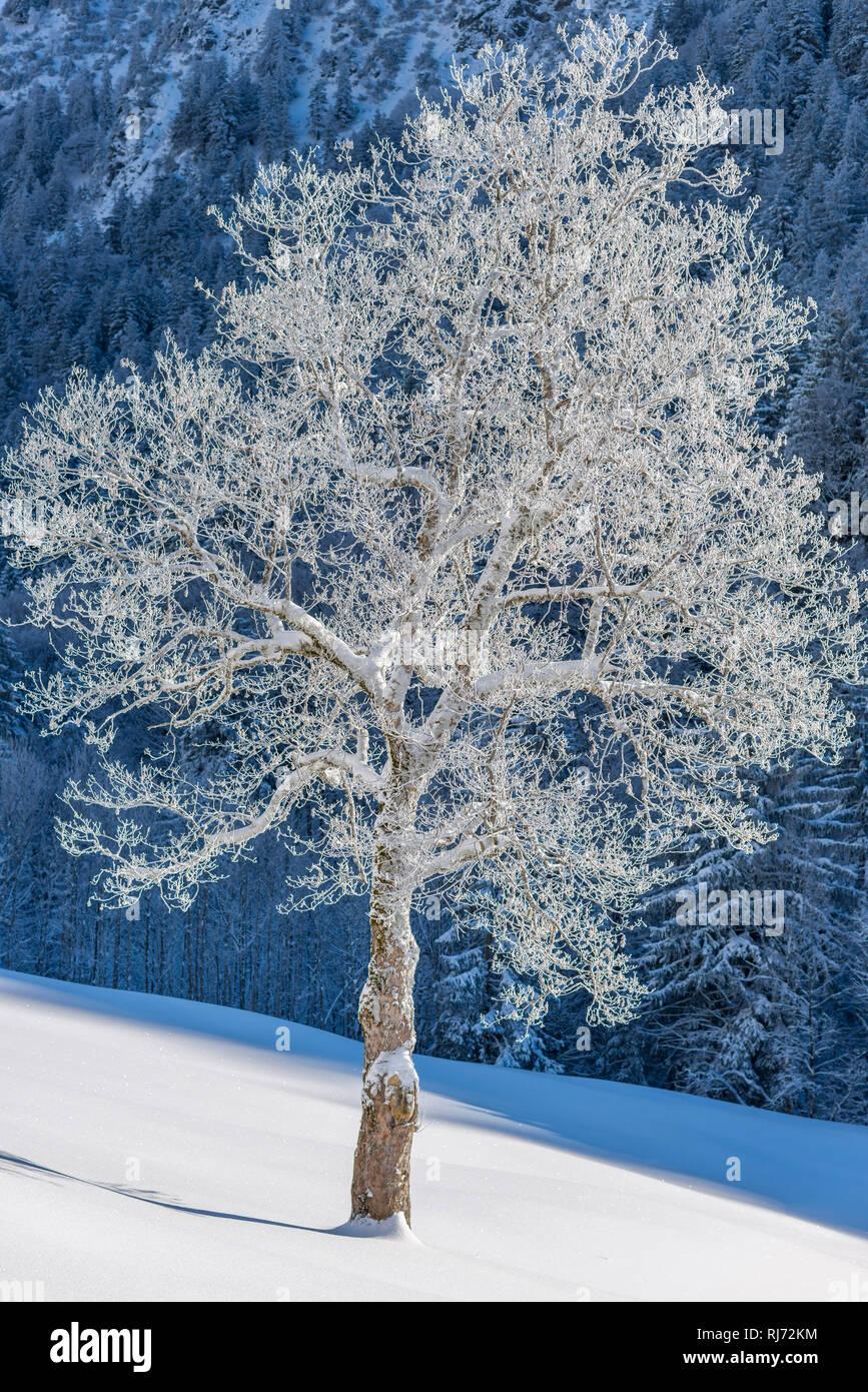Bergahorn (Acer pseudoplatanus), Gerstruben, ein ehemaliges Bergbauerndorf im Dietersbachtal bei Oberstdorf, Allgäuer Alpen, Allgäu, Bayern, Deutschla - Stock Image