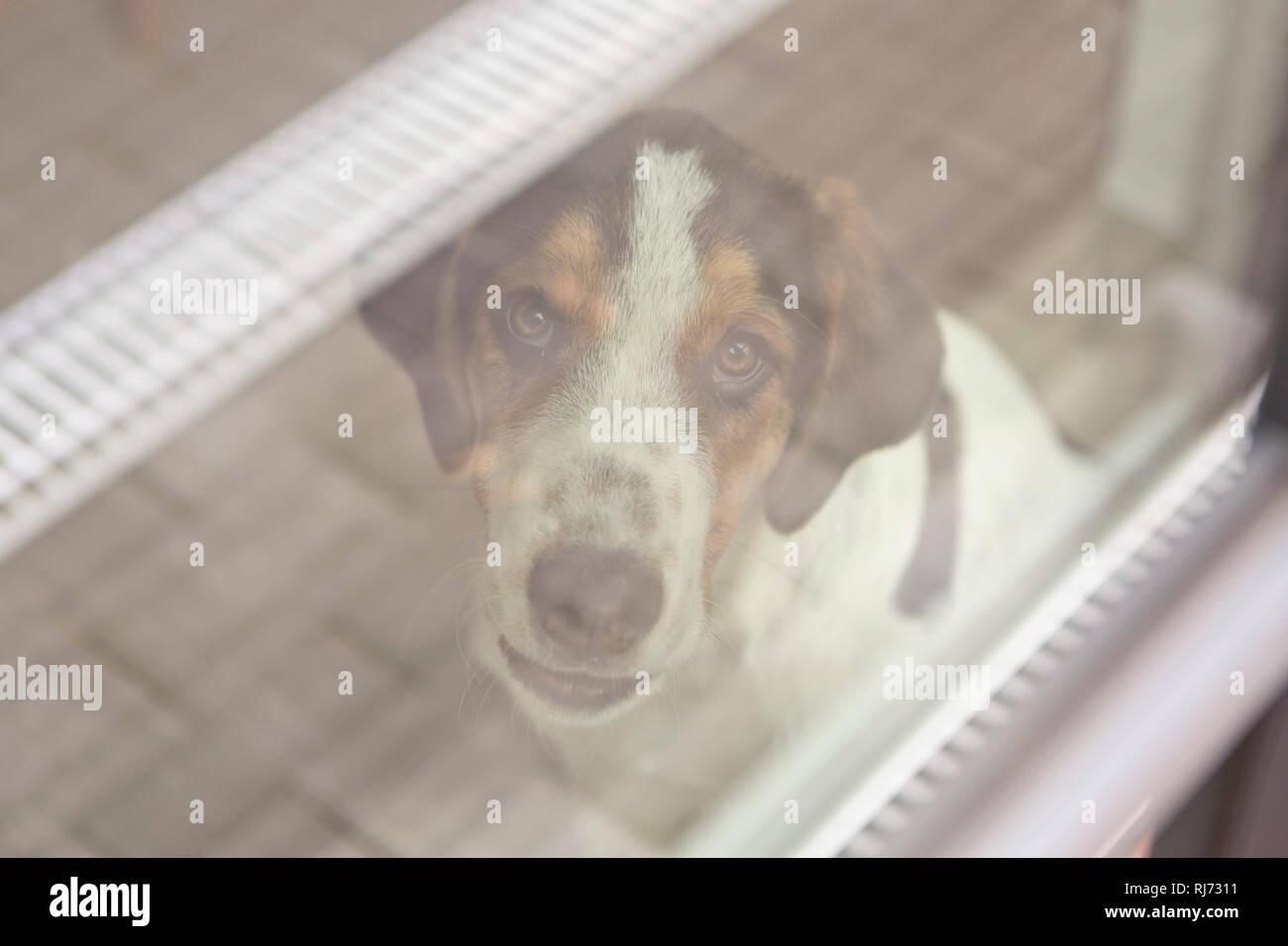 Fenster, Welpe, Blick Kamera, Porträt, - Stock Image