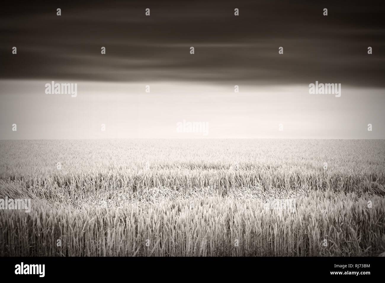 Ein frisches Weizenfeld mit einer Fläche von umgeknickten Halmen, Stock Photo