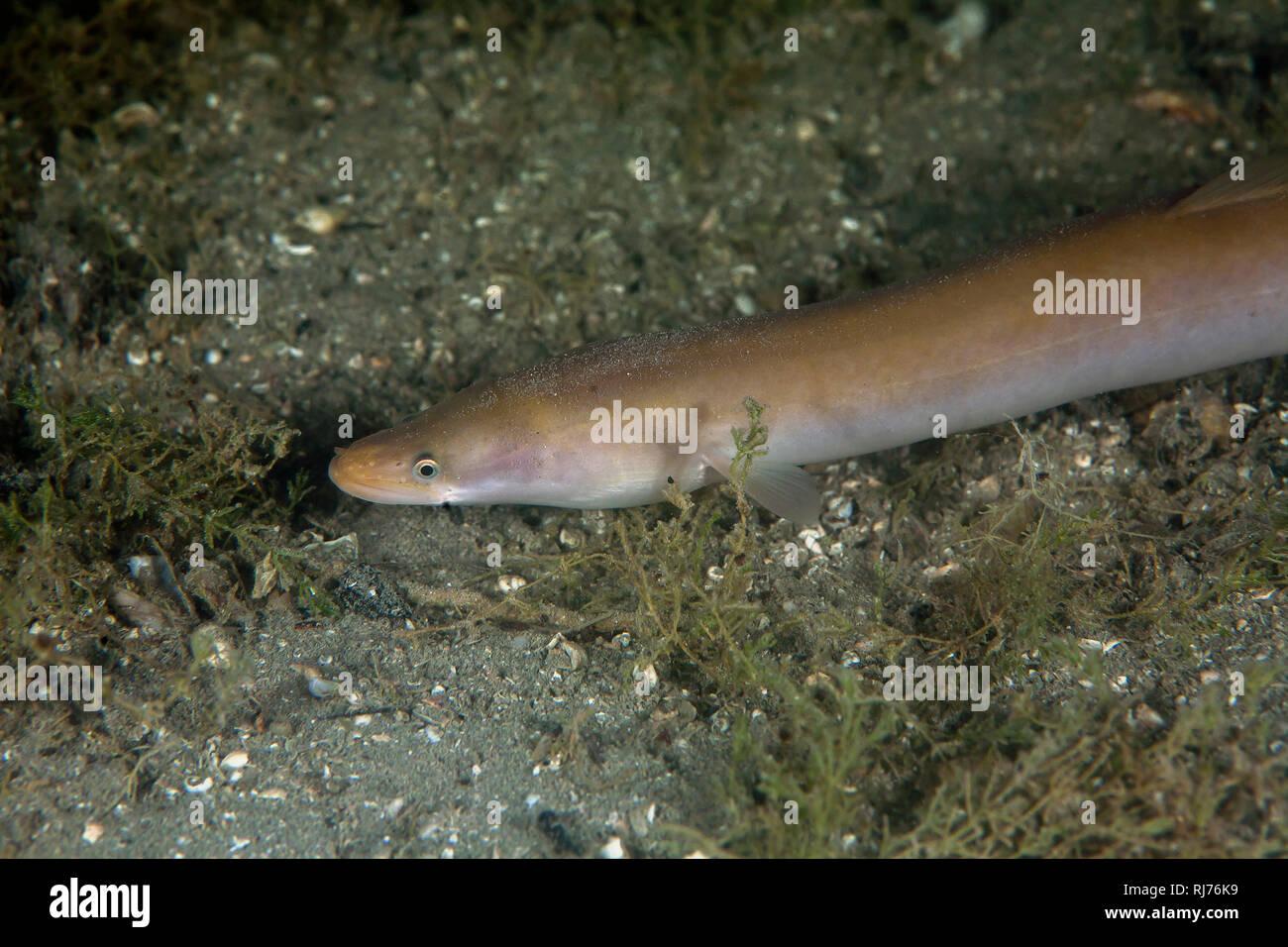 Europäischer Aal, ( Anguilla anguilla ), Chiemsee, Bayern, Deutschland - Stock Image