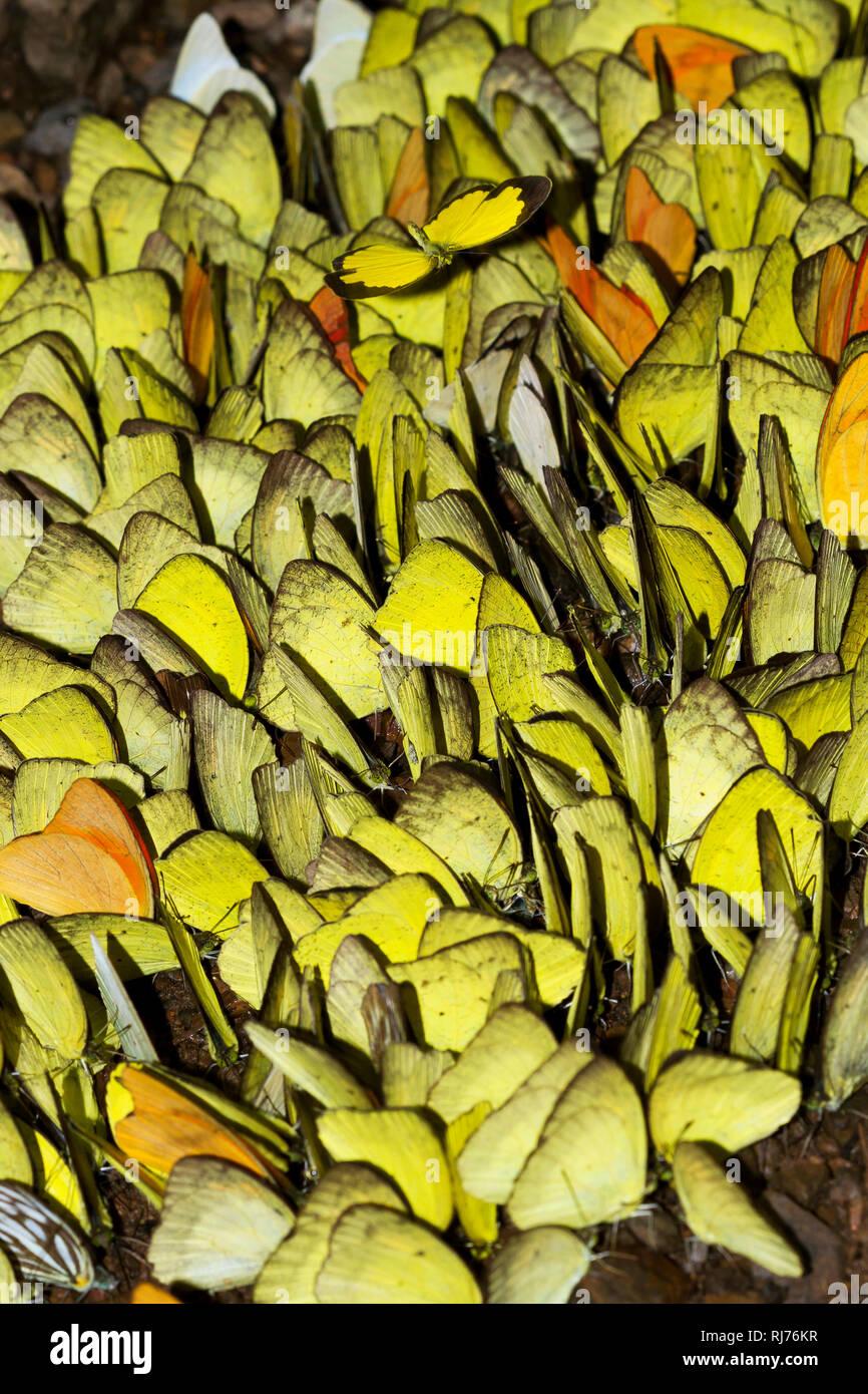 Falter, Gelblinge ( Eurema hecabe ), Kaeng Krachan, Phetchaburi, Thailand - Stock Image