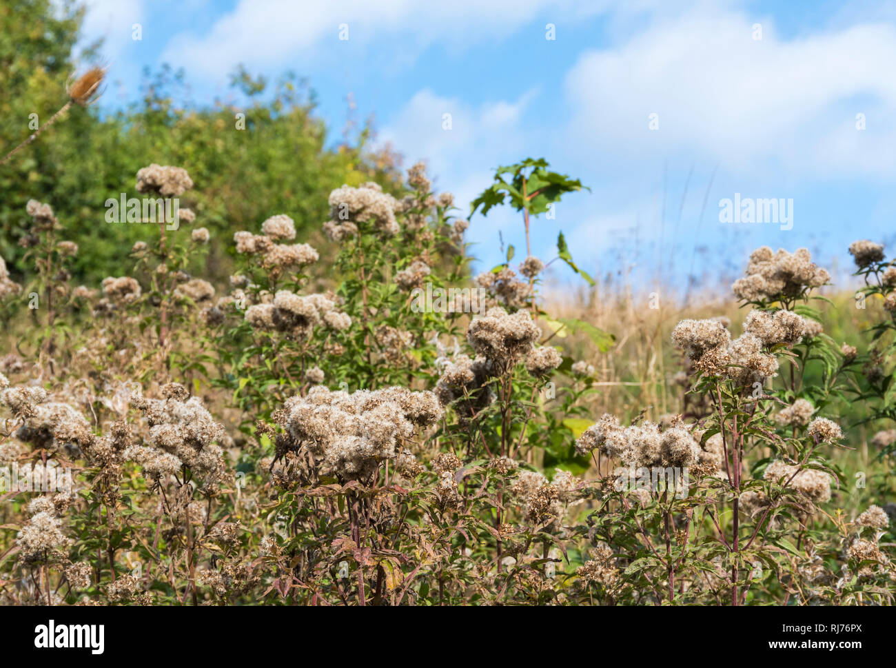 Creeping Thistle (Cirsium arvense) plant in seed growing in Autumn in the UK. - Stock Image