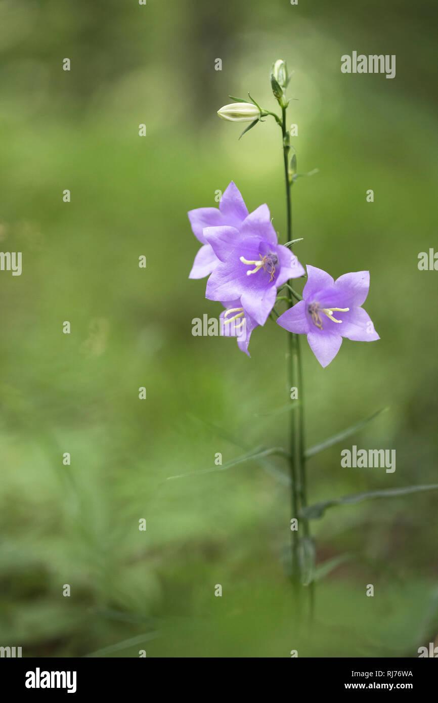 Rundblättrige Glockenblume, Campanula rotundifolia, Gangolfsberg, Hohe Rhön, Rhön-Grabfeld, Bayern, Deutschland, Stock Photo