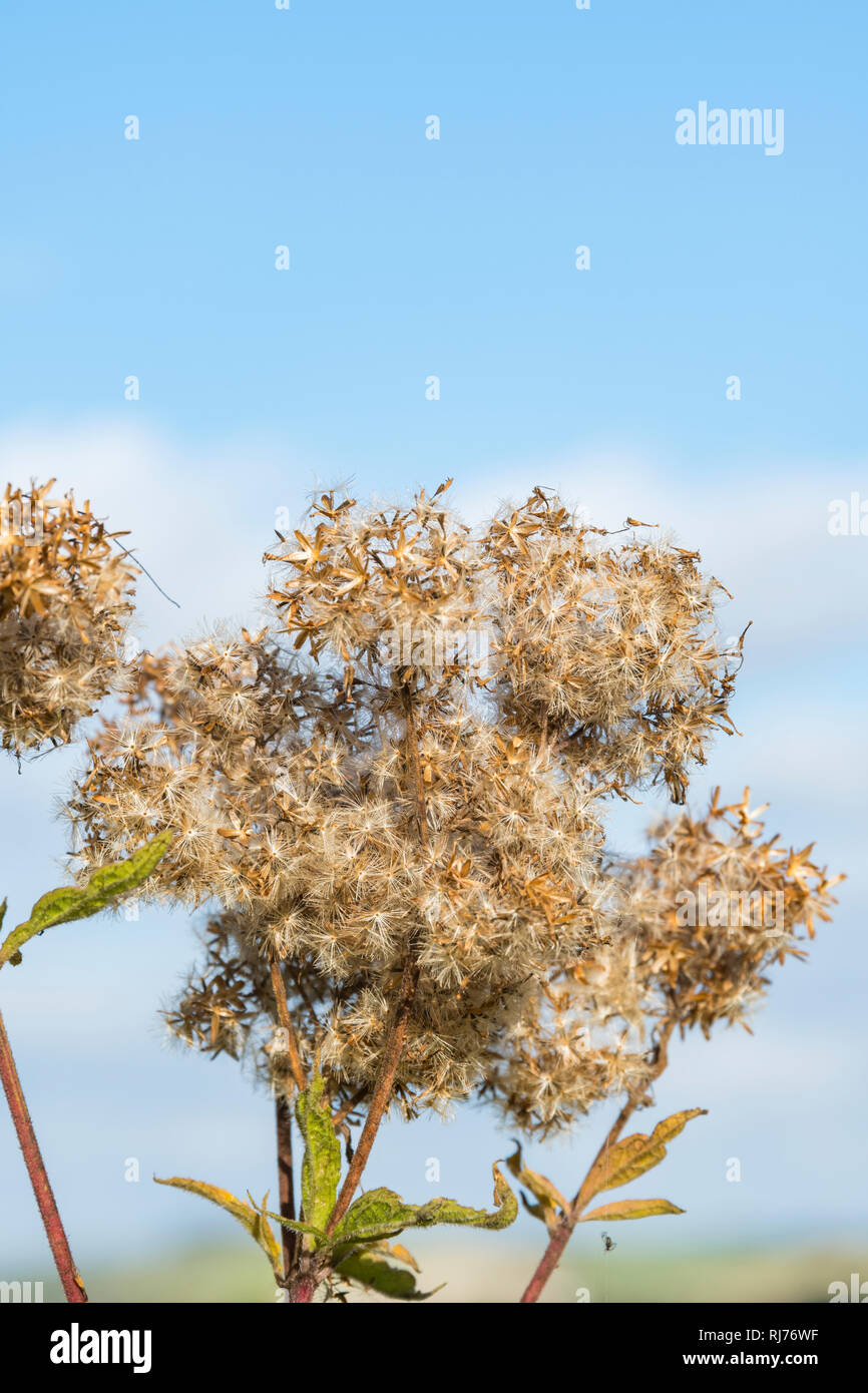 Creeping Thistle (Cirsium arvense) plant in seed growing in Autumn in the UK, portrait vertical with copy space. - Stock Image