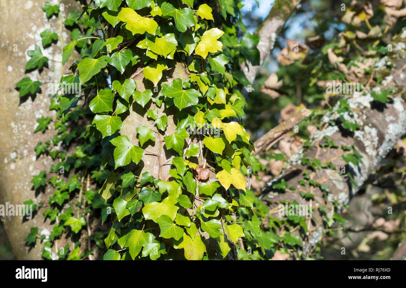 Ivy creeper (Hedera) growing and climbing up a tree trunk in Autumn in the UK. - Stock Image