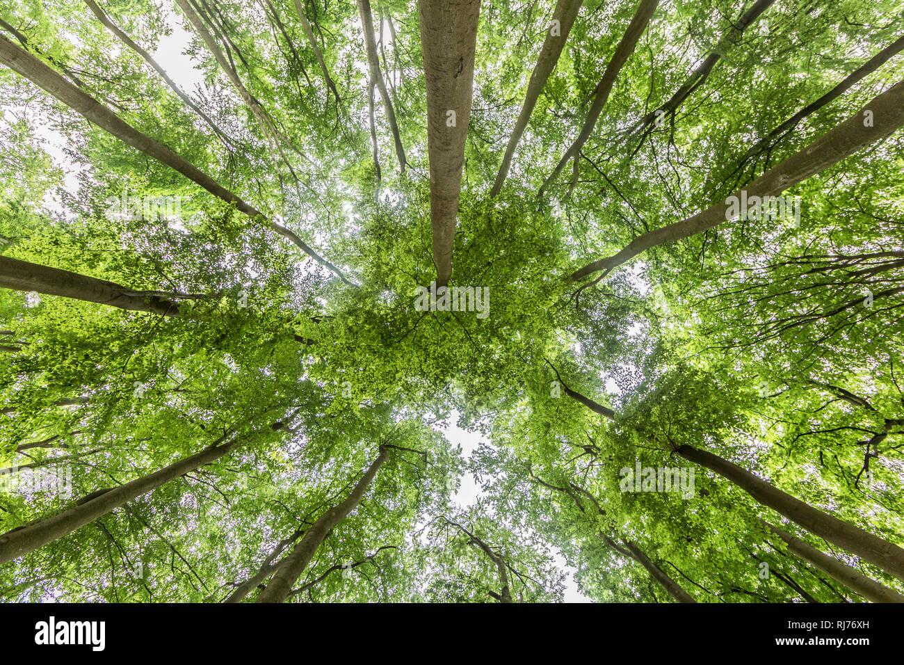 Buchenwald, Blick in das Blätterdach - Stock Image