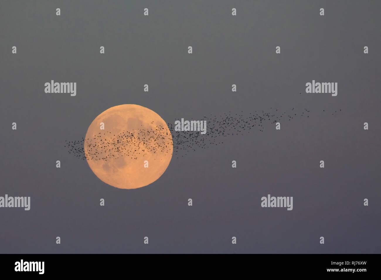 Vollmond, Supermond, Vogelschwarm, Stare, Sturnus vulgaris - Stock Image