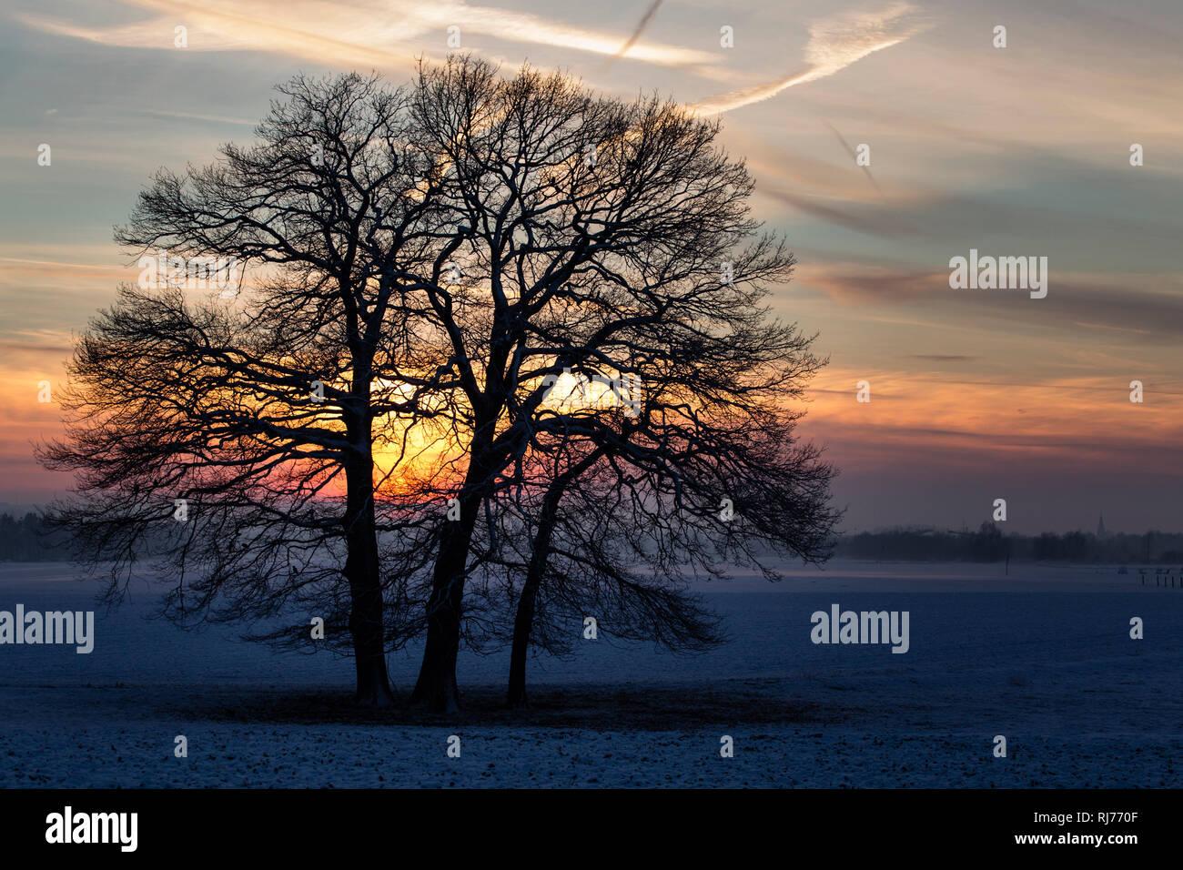 Eichen (Quercus robur) auf einem Feld, Winter, Abenddämmerung, Stock Photo