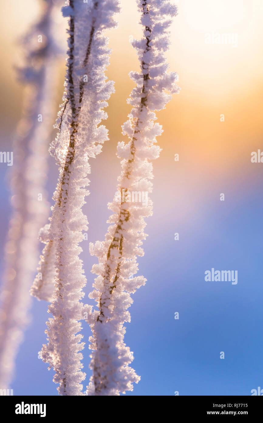 Rauhreif an Wurzeln eines umgestürzten Baumes, Gegenlicht, Farbspiel, Lens Flare, - Stock Image
