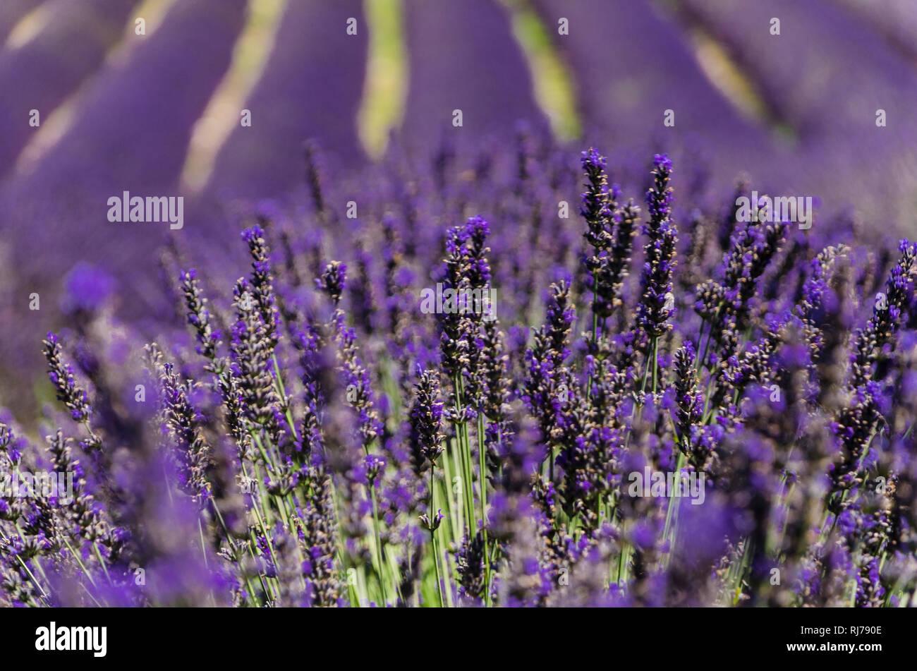 Lavendelfeld bei Sault, Frankreich - Stock Image