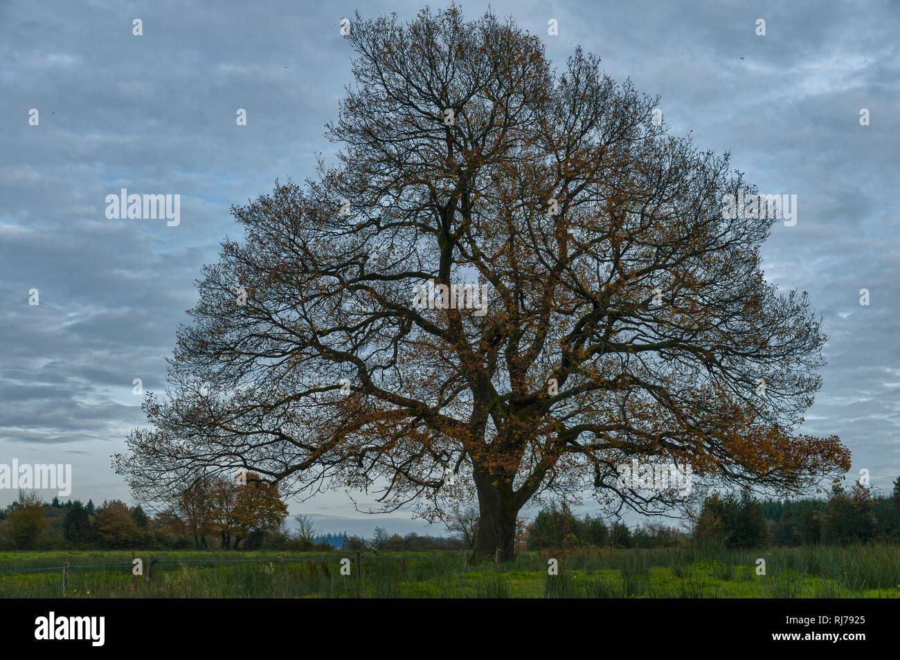 stattliche Eiche mit riesiger Krone vor blauem Himmel, HDR, Im Hohen Venn, Belgien - Stock Image