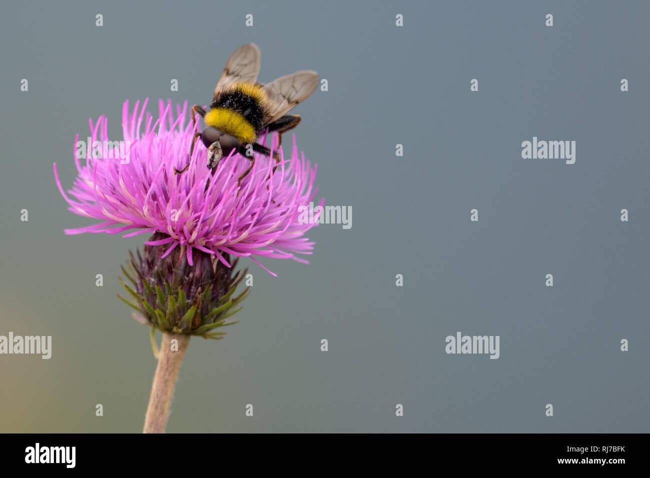Hummel auf lila Blume beim Bestäuben mit Nektar - Stock Image