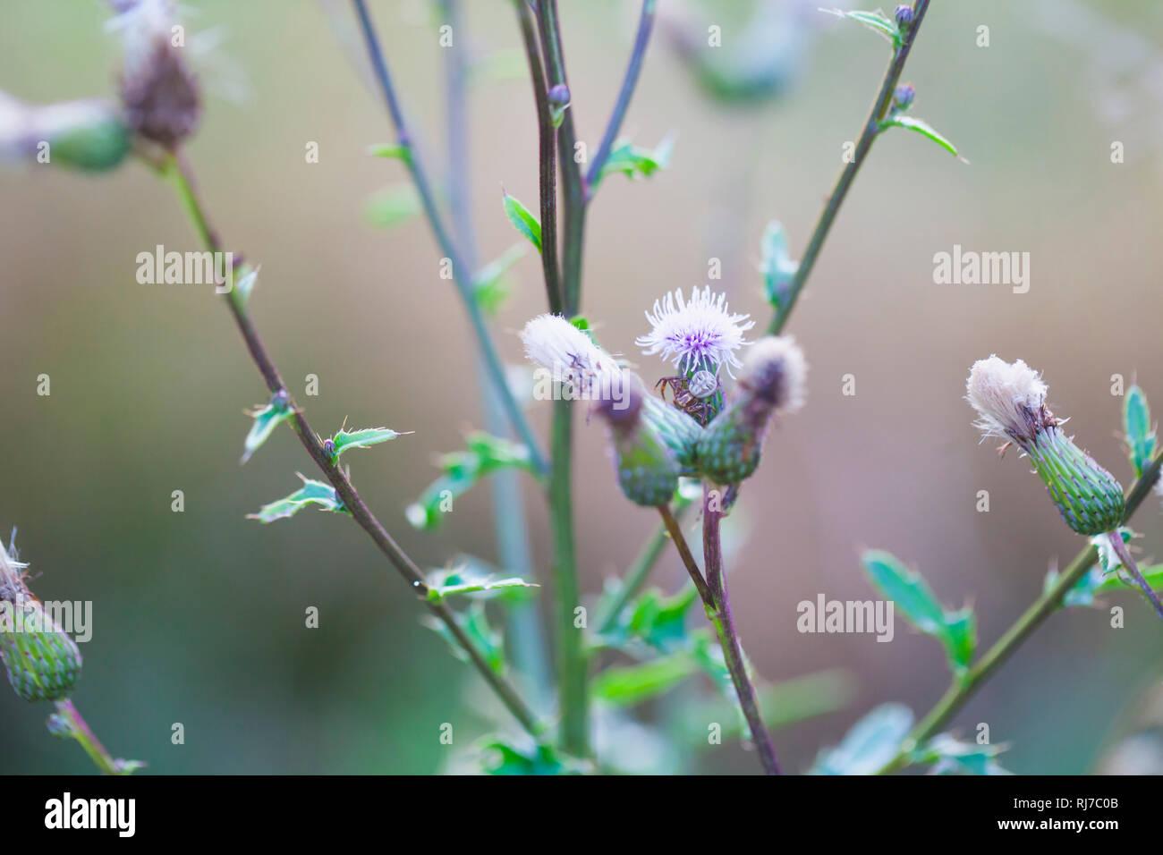Eine Kreuzspinne auf einer Ackerdistel, Cirsium arvense, - Stock Image
