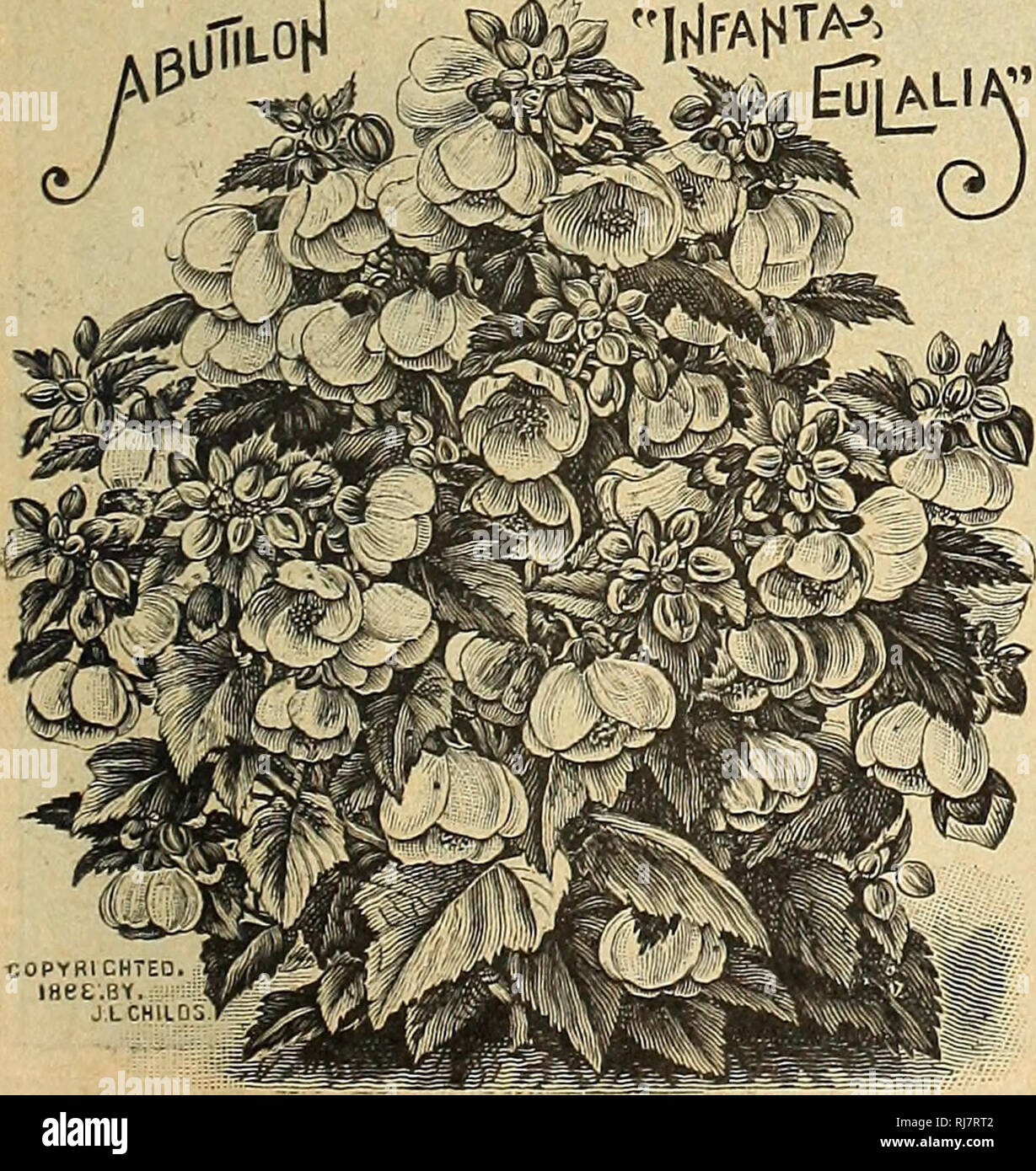 . Childs' 1924. Commercial catalogs Seeds; Nurseries (Horticulture) Catalogs; Seeds Catalogs; Flowers Catalogs; Vegetables Catalogs; Fruit Catalogs; John Lewis Childs (Firm); Commercial catalogs; Nurseries (Horticulture); Seeds; Flowers; Vegetables; Fruit. Although we classify the few following pages as House Plants, it is only because of their peculiar fitness as a pot plant for indoor purposes. However, nearly everything listed as such are equally suitable for growing out-doors during the summer months.; While many of them are known as tender plants, it does not follow that such plants are p Stock Photo