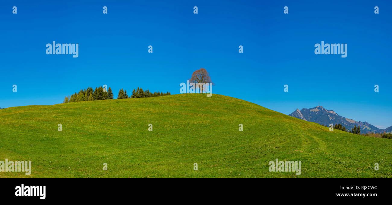 Friedenslinde (Tilia) auf der Wittelsbacher Hoehe, 881m, Illertal, Allgaeu, Bayern, Deutschland, Europa - Stock Image