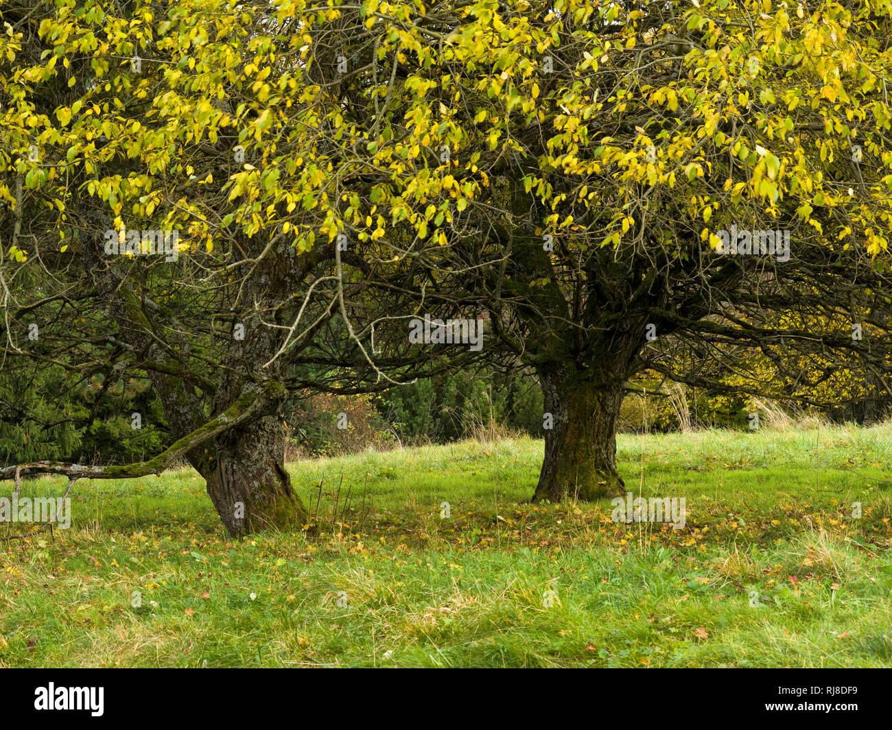 Deutschland, Bayern, Naturpark Bayrische Rhön, UNESCO-Biosphärenreservat, Naturschutzgebiet Lange Rhön, Salweiden im Herbstlaub Stock Photo
