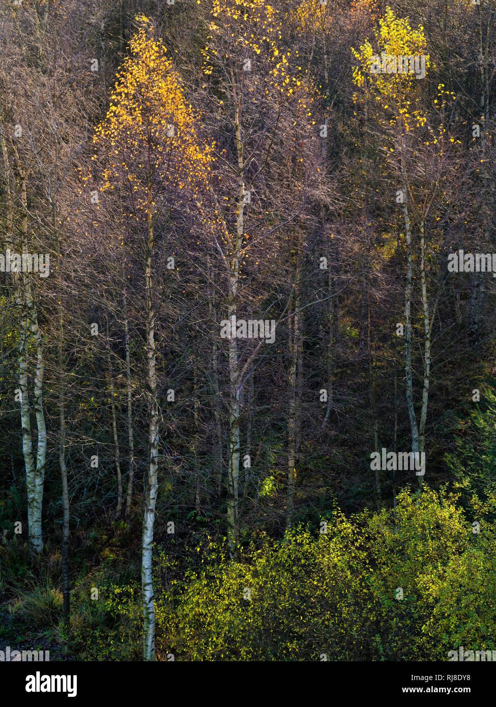 Deutschland, Bayern, Naturpark Bayrische Rhön, UNESCO-Biosphärenreservat, Naturschutzgebiet Schwarzes Moor, Moorgräser, Birken im Gegenlicht, glitzern Stock Photo